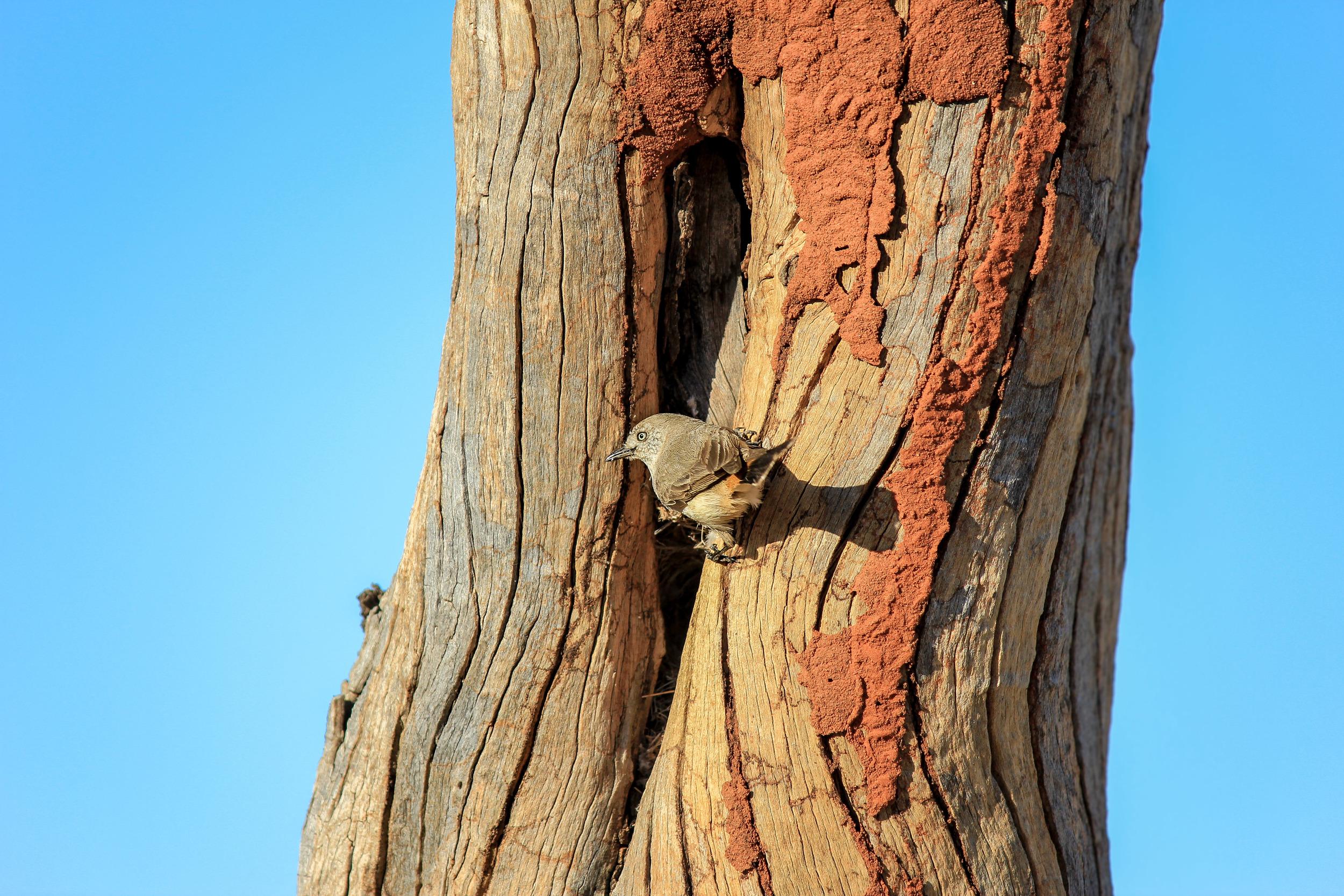 Chestnut-rumped Thornbill ( Acanthiza uropygialis ). Photo by Rebecca Sullivan.