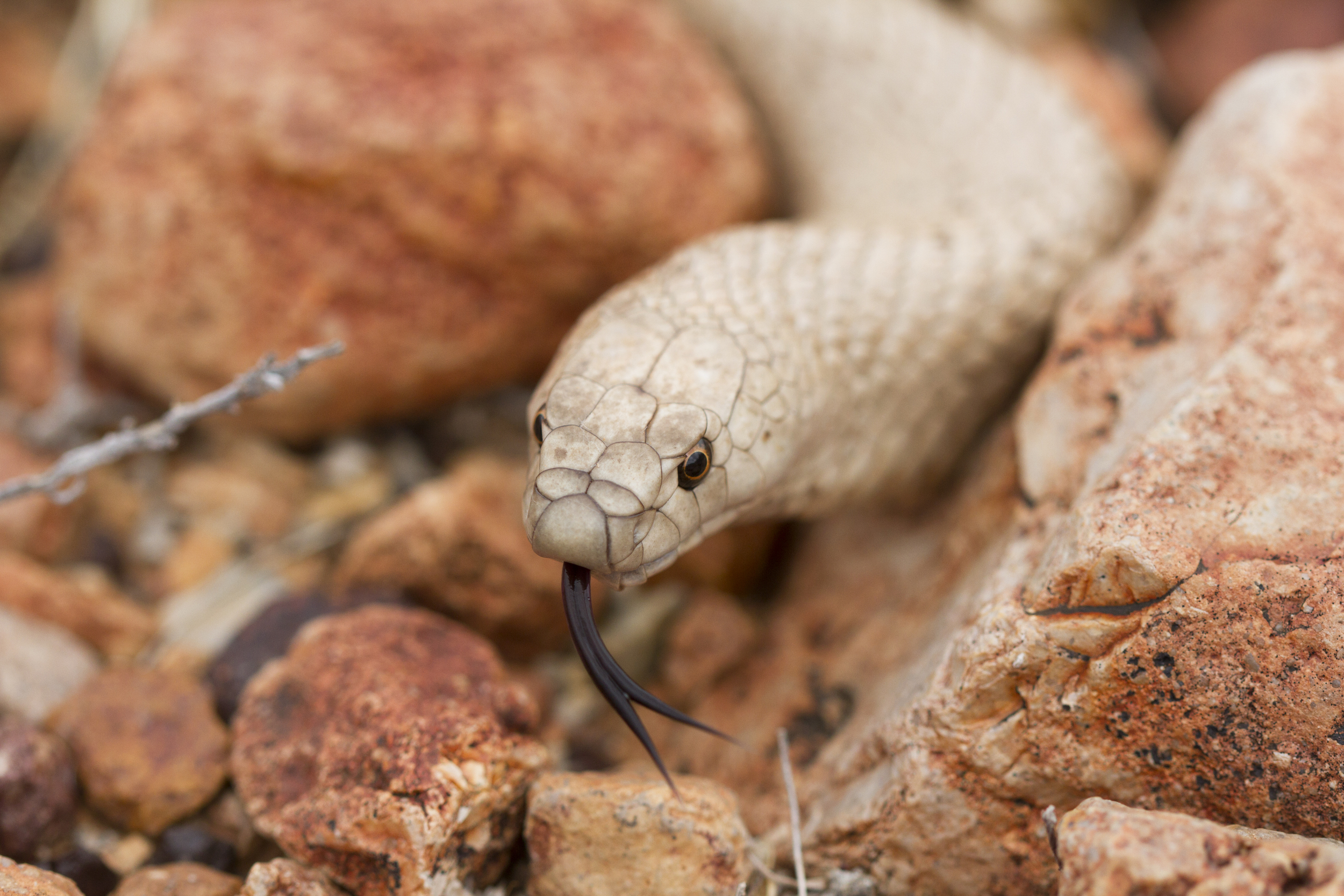 Strap-snouted Brownsnake ( Pseudonaja aspidorhyncha ). Anna Creek Station, South Australia, 2011. Photo by Angus Kennedy. From  this post .