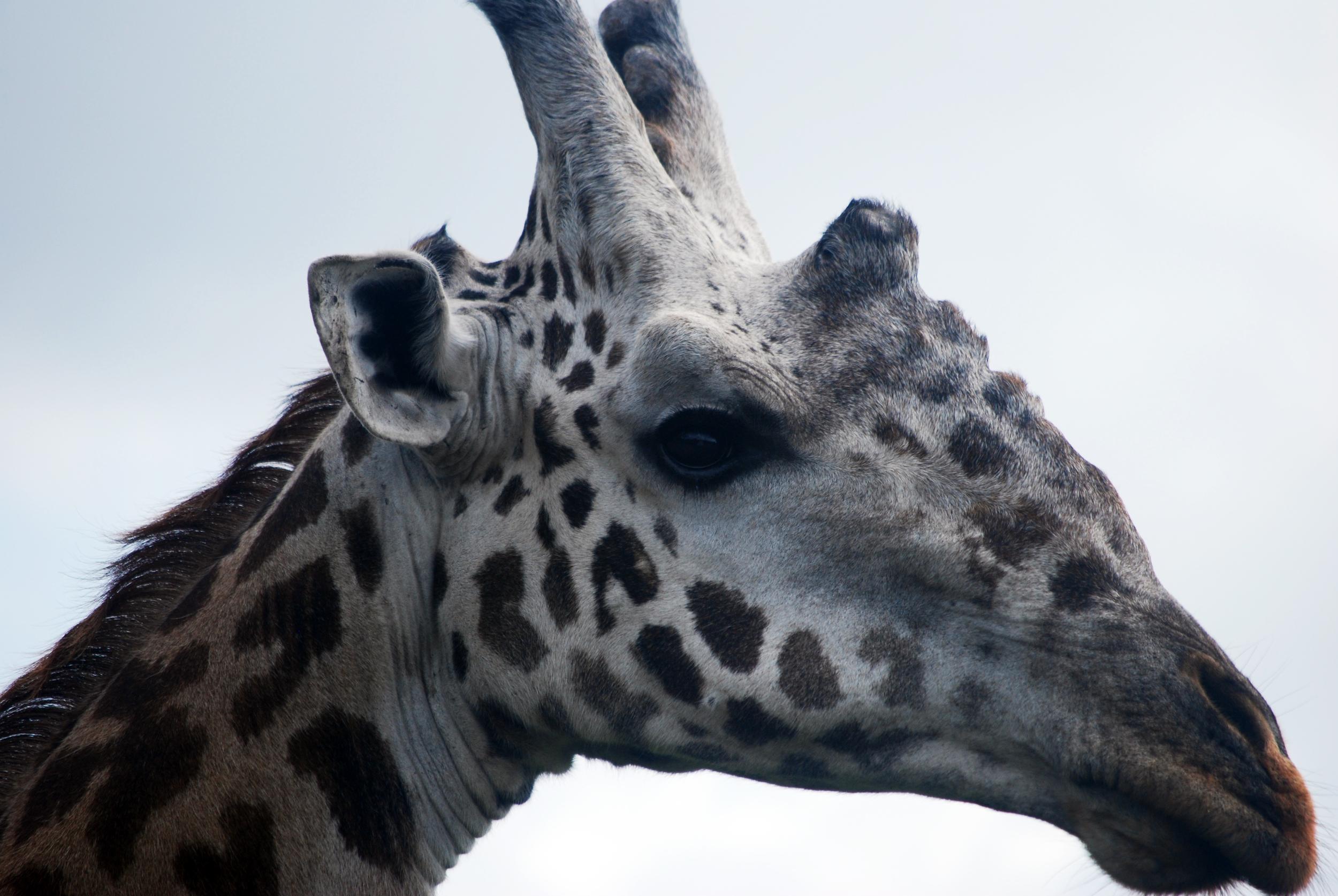 Portrait of giraffe. Nairobi National Park, Kenya, 2013.