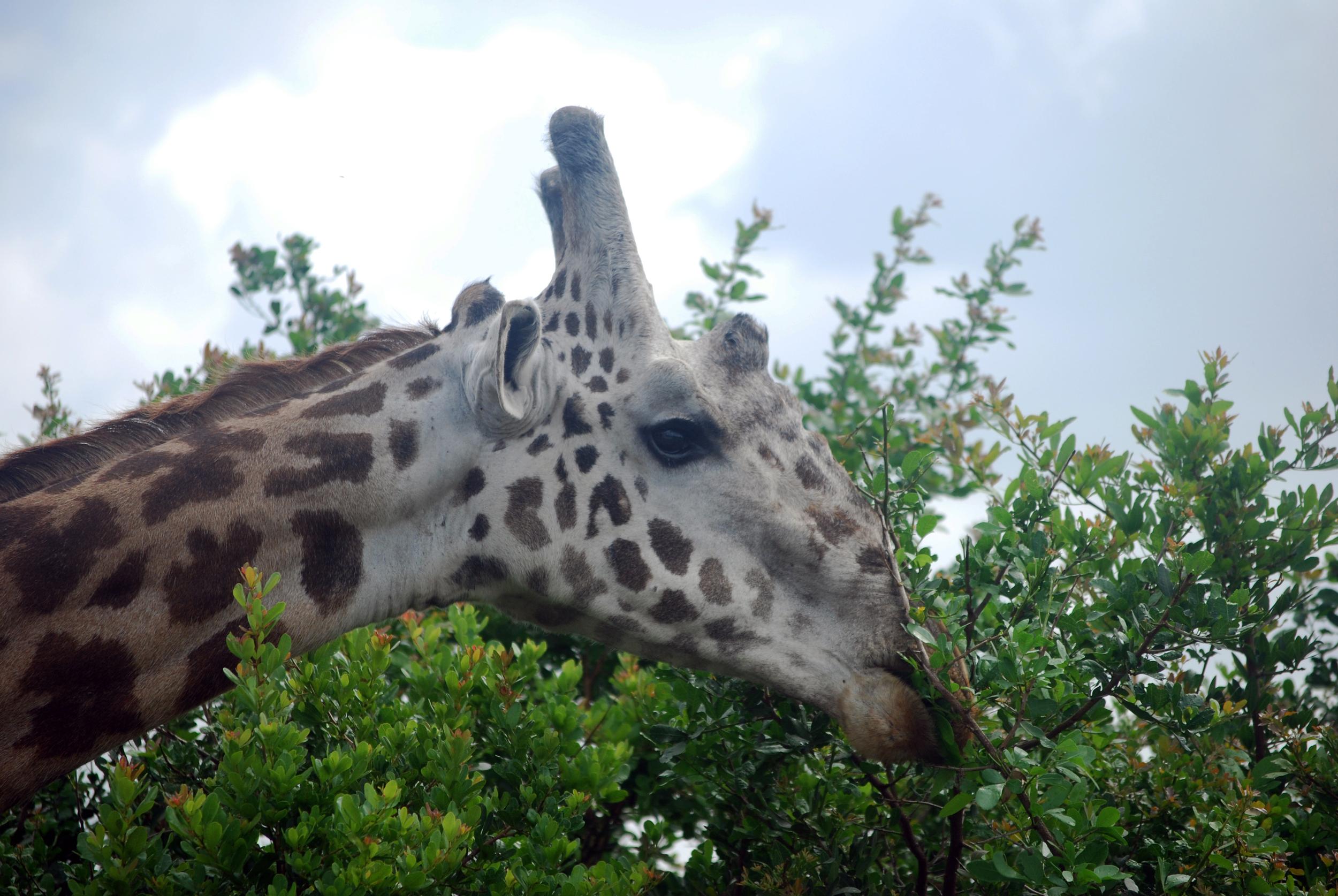 Giraffe feeding. Nairobi National Park, Kenya, 2013.