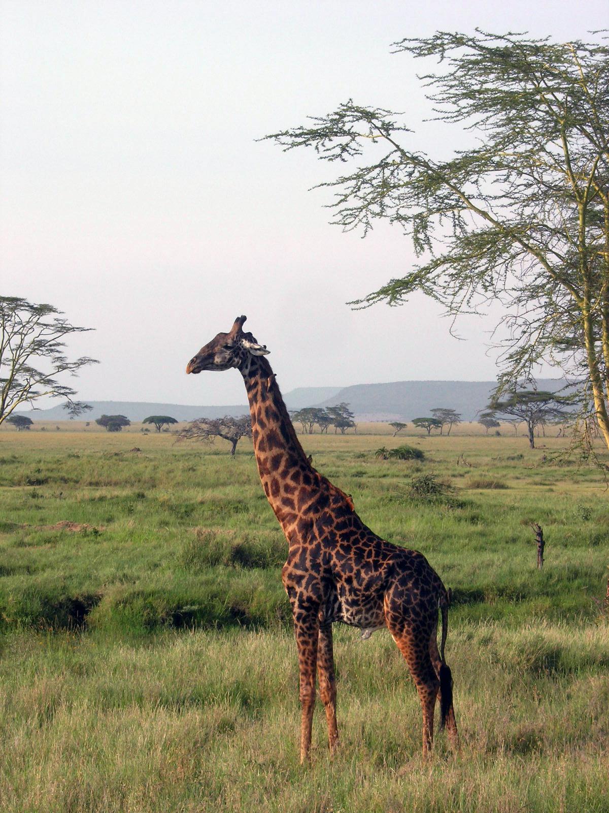 Giraffe with oxpeckers. Serengeti National Park, Tanzania, 2008.