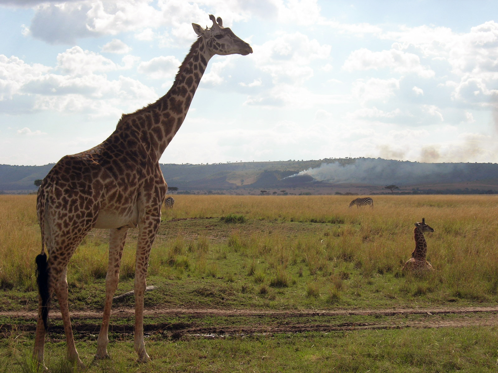 Giraffe with calf. Maasai Mara Game Reserve, Kenya, 2008.