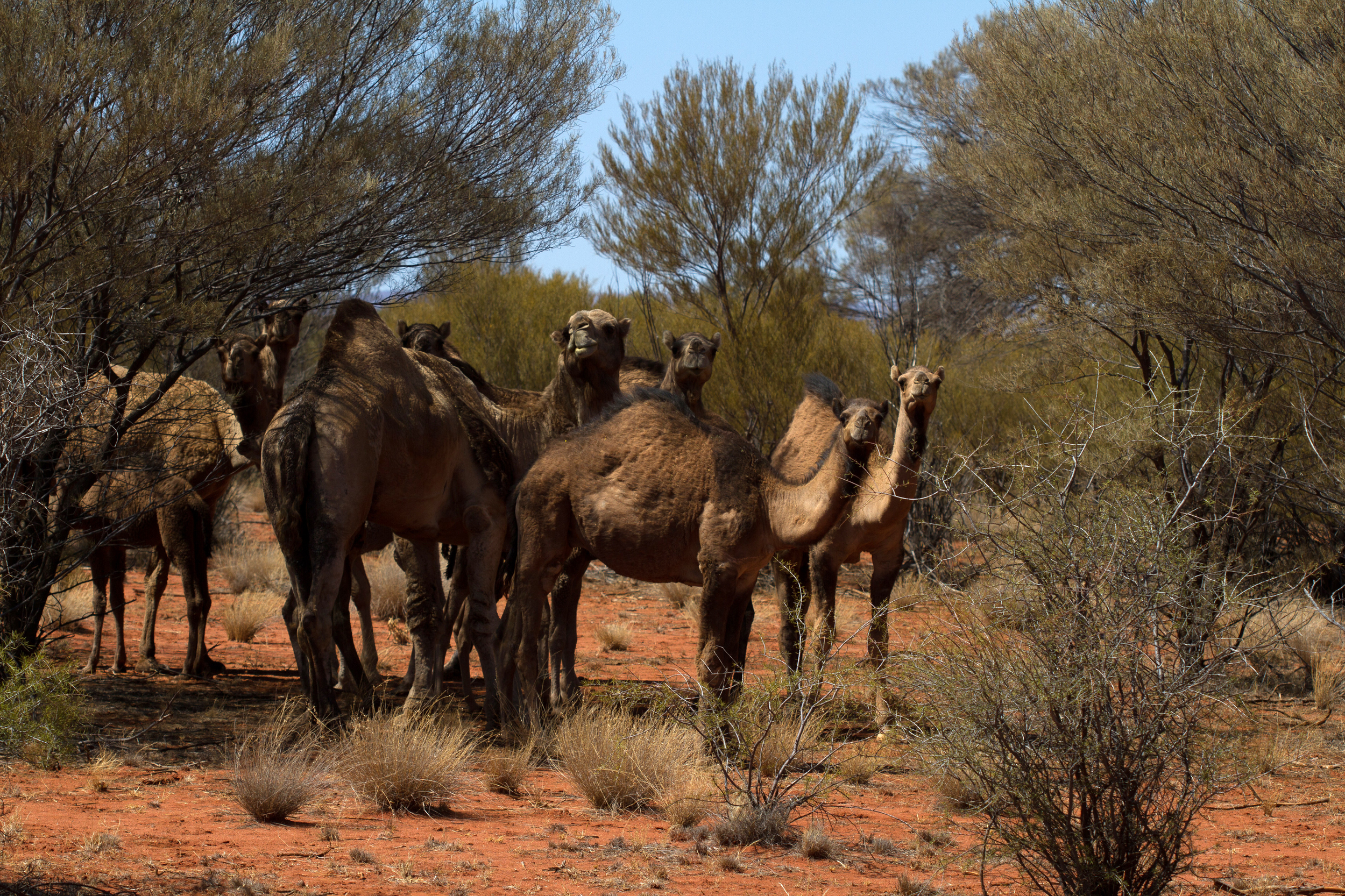 The male camel is the really big one to the left. Mulga Park Station, Northern Territory, 2012. Photo by Angus Kennedy.
