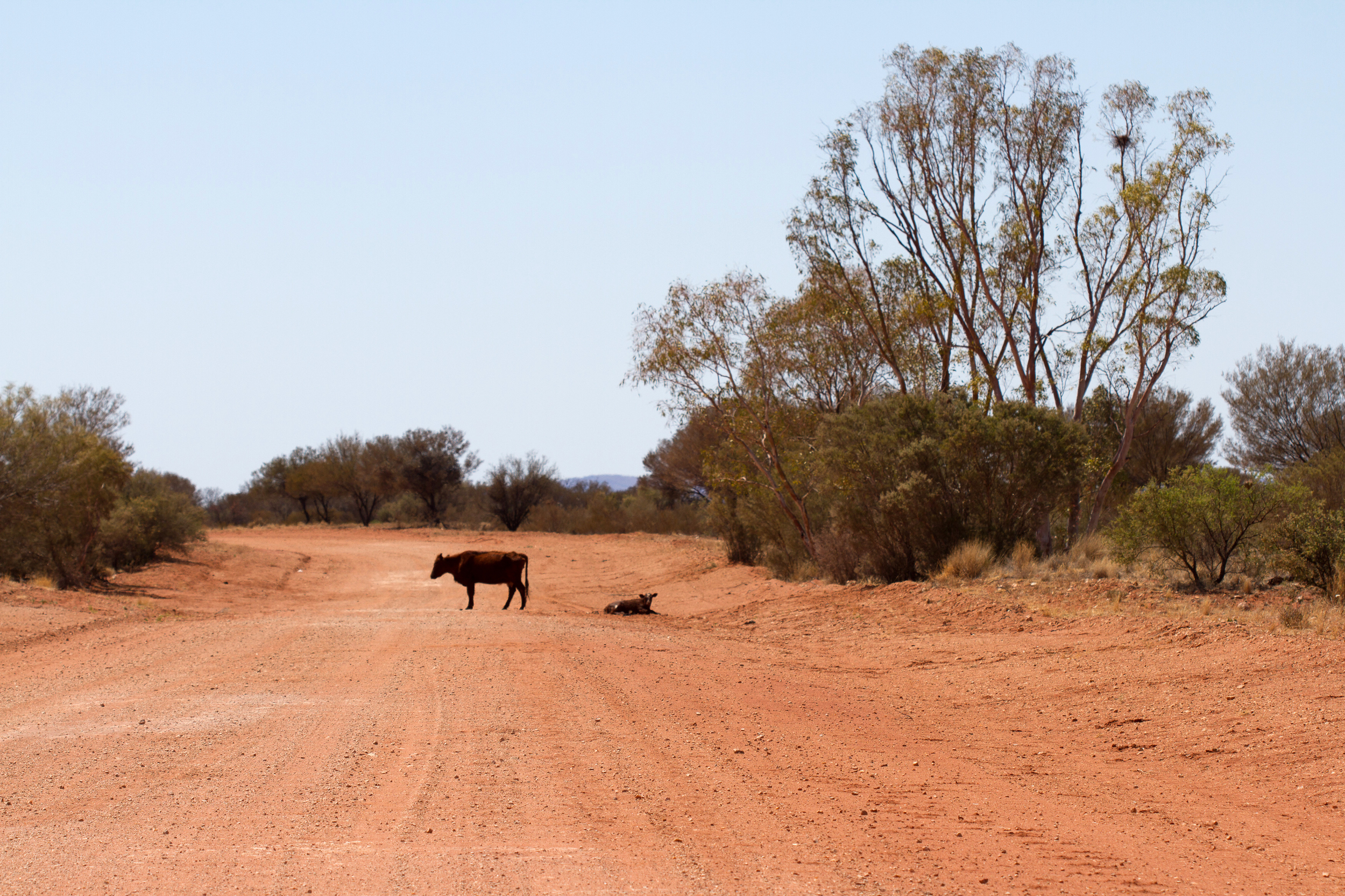 Cattle, the most abundant outback mammal. Mulga Park Station, Northern Territory, 2012. Photo by Angus Kennedy.