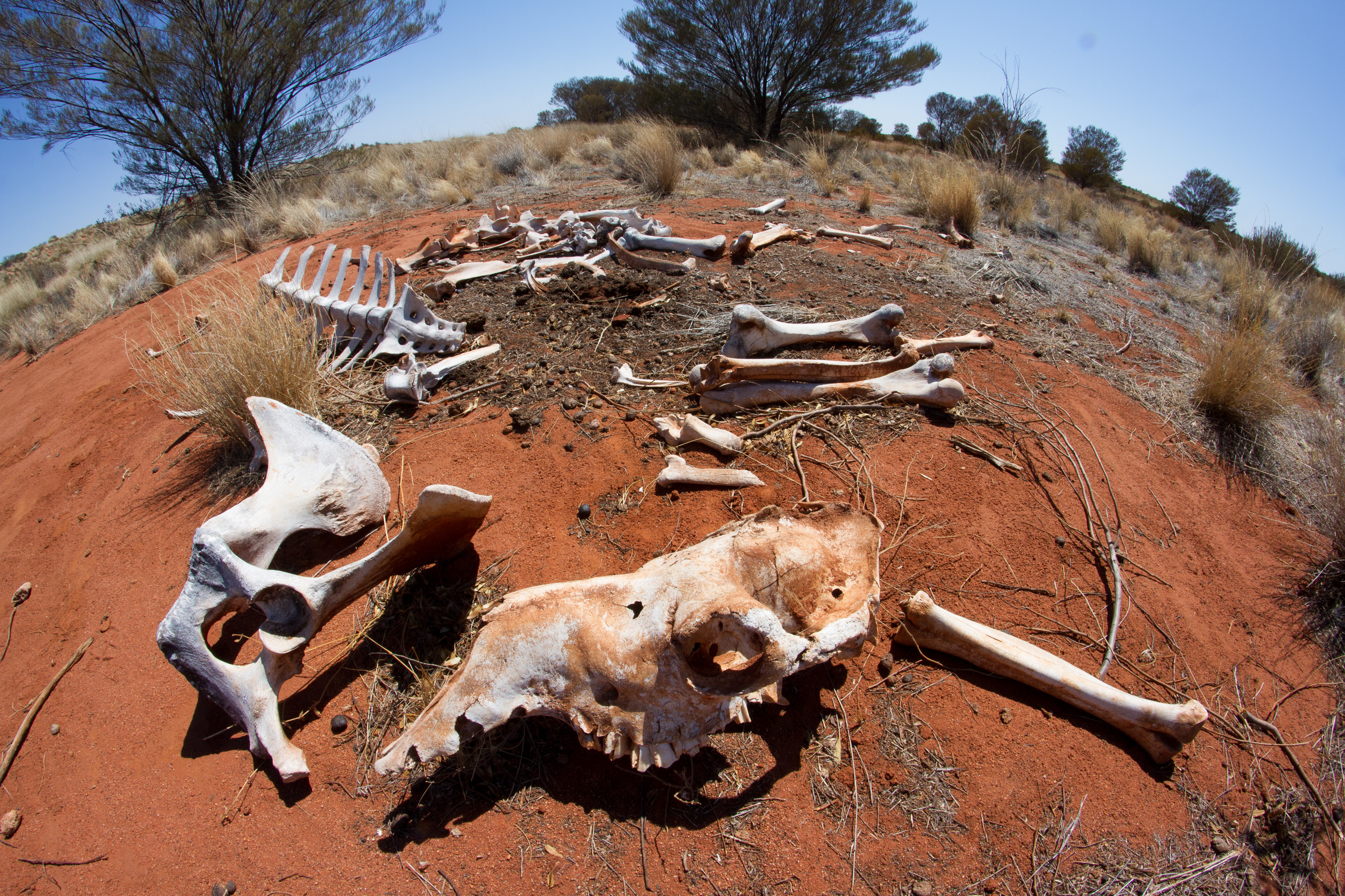 One of my field sites turned out to be a creepy camel graveyard. We counted seven skeletons. Note the bullet hole at the back of the skull. Mulga Park Station, Northern Territory, 2012. Photo by Angus Kennedy.