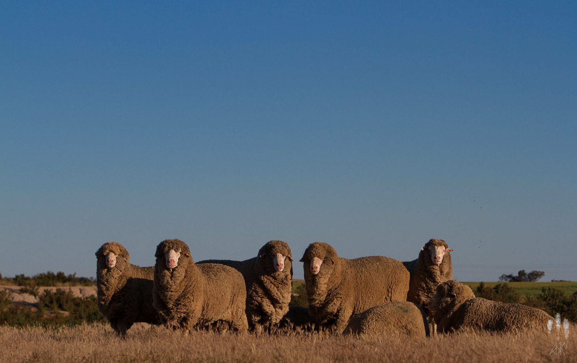 Some heavily-burdened sheep. Lake Hurlestone Conservation Reserve, Western Australia. October 2013. Photo by Angus Kennedy.