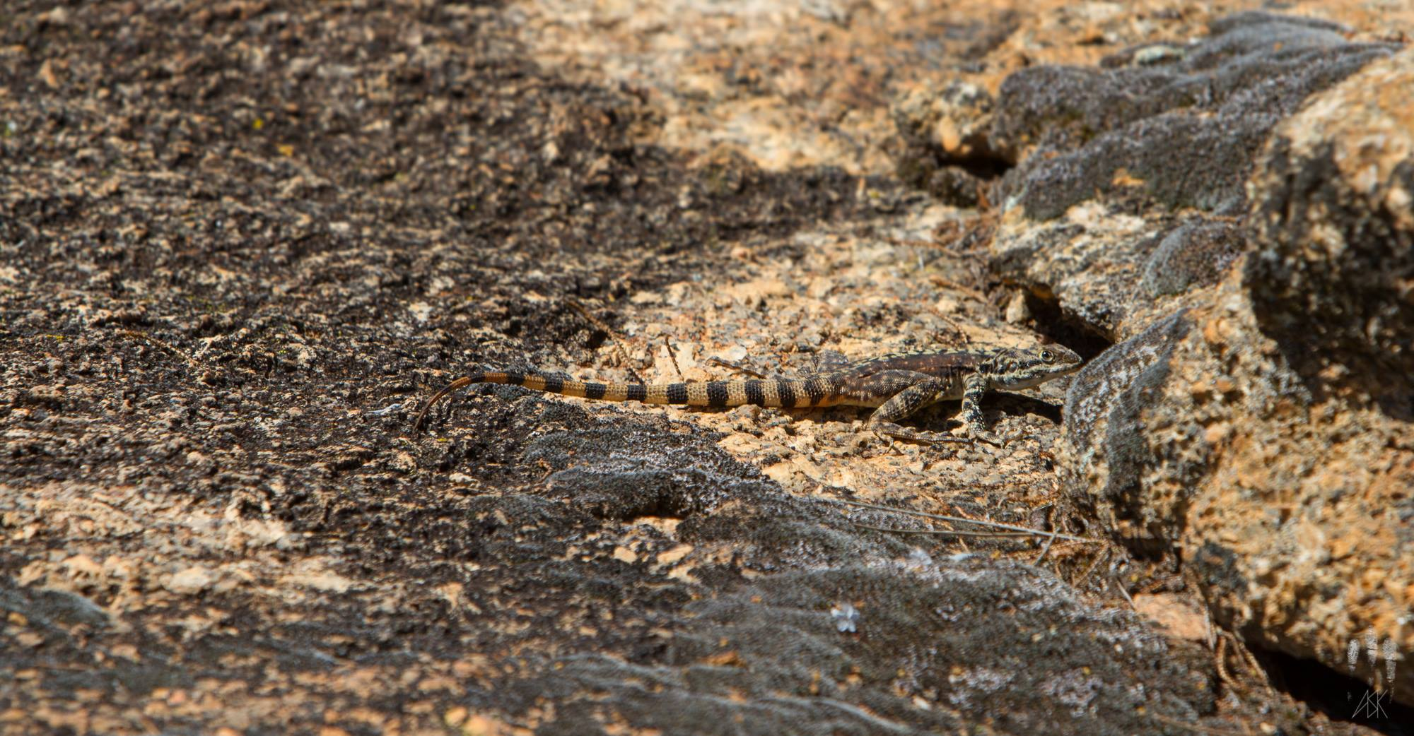 The most common way to spot a rock dragon: about to disappear into an impossibly narrow crevice from which we'd never be able to extract it. Hyden, Western Australia, 2013. Photo by Angus Kennedy.