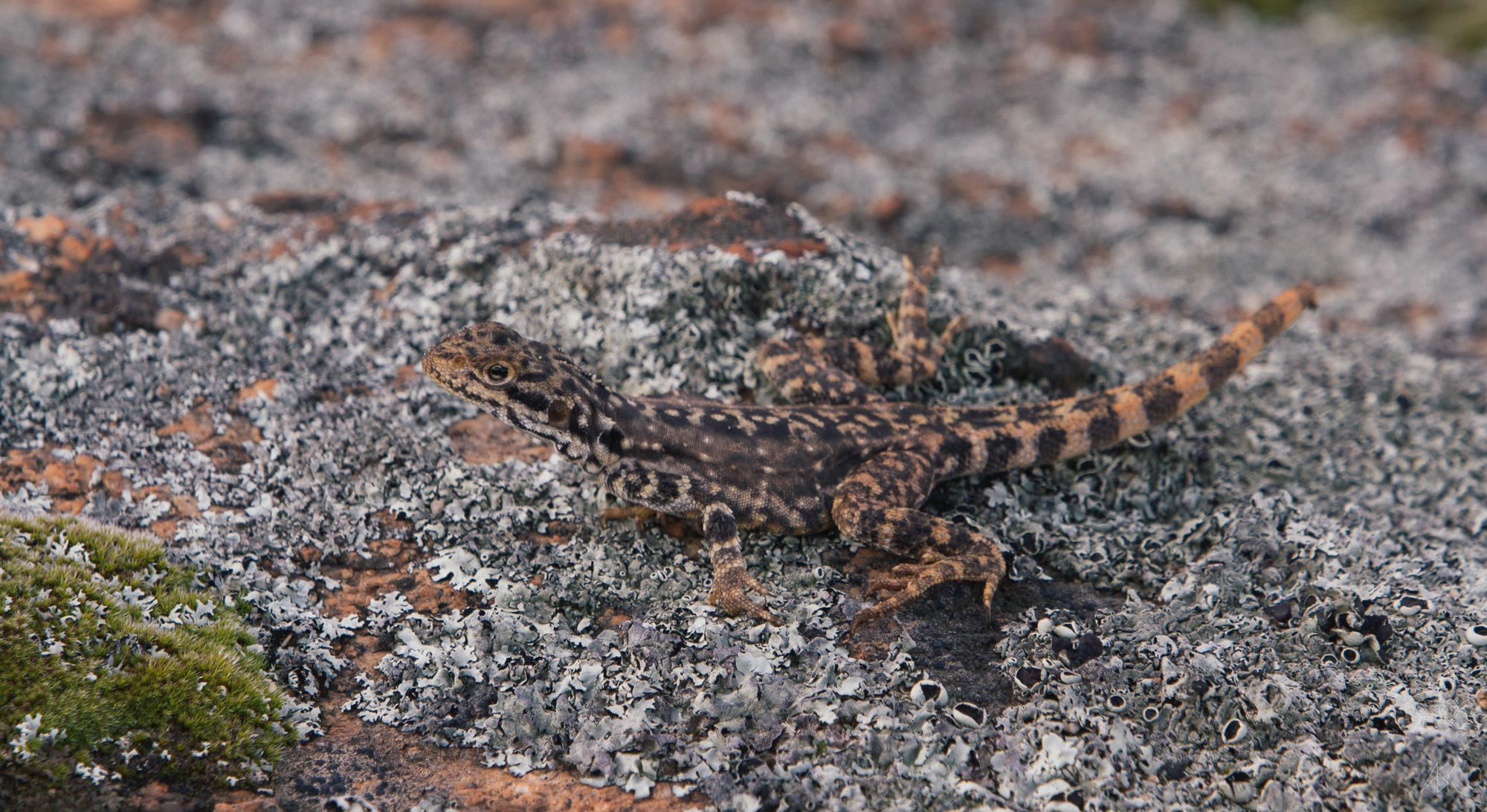 Female Ornate Dragon ( Ctenophorus ornatus ). Varley, Western Australia, 2013. Photo by Angus Kennedy.