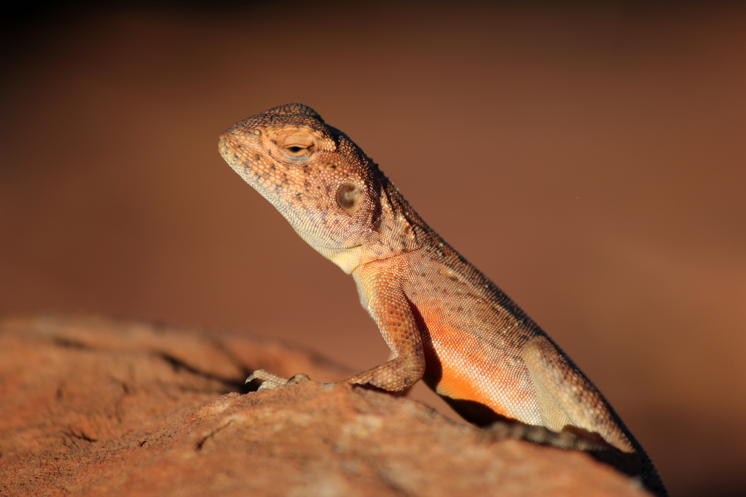 The only sexual dimorphism these ring-tailed dragons showed was some orange on the male's flanks. Watarrka National Park, Northern Territory, 2012. Photo by Rebecca Sullivan.