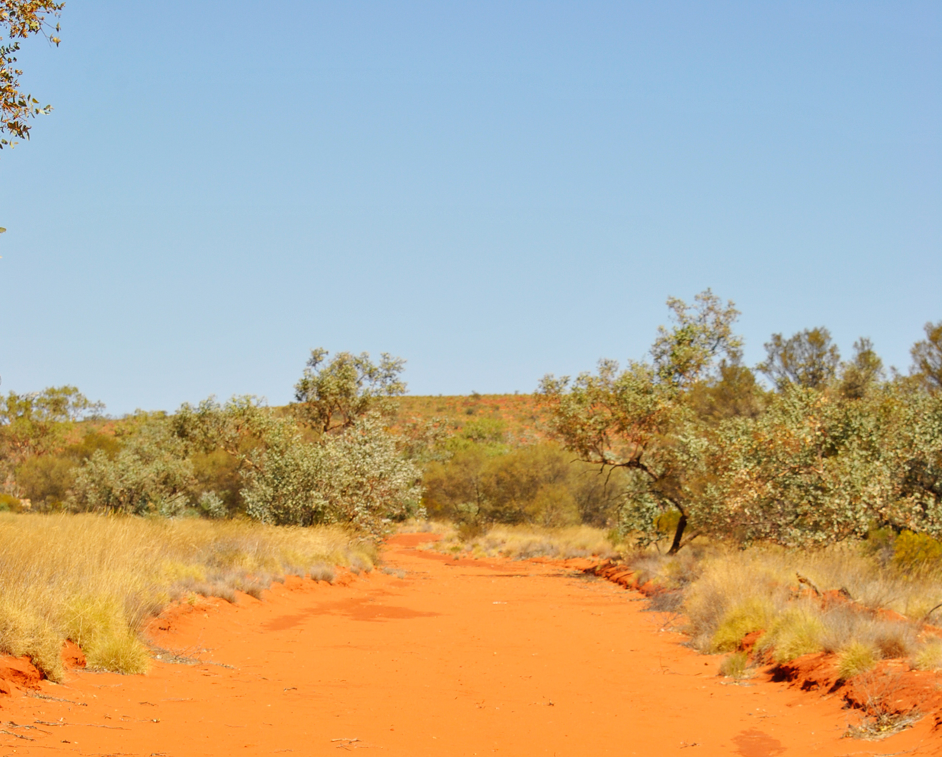 A red dirt track with sand ridges makes perfect central netted dragon habitat. Henbury Station, Northern Territory, 2012.
