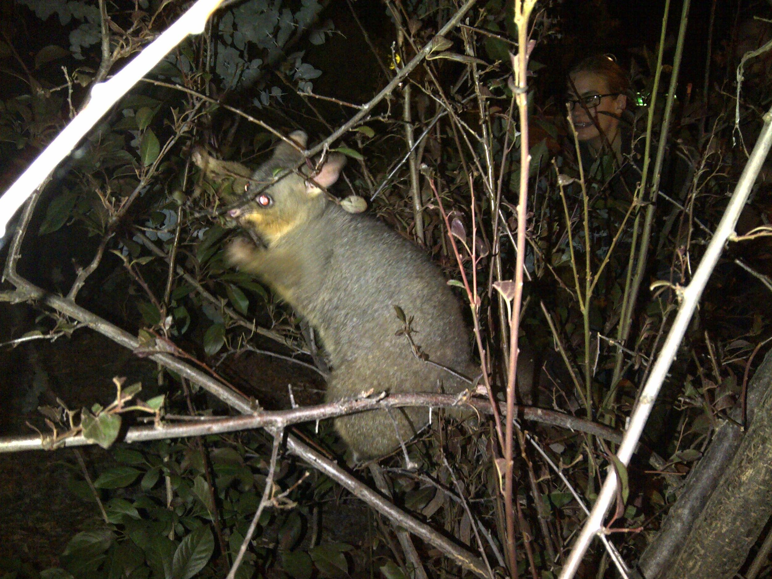 A member of the brushtail family feeding around my house. A visiting researcher who had spent four months in Australia without seeing a brushy can be seen in the background, fulfilling her dream on her last night in Canberra.