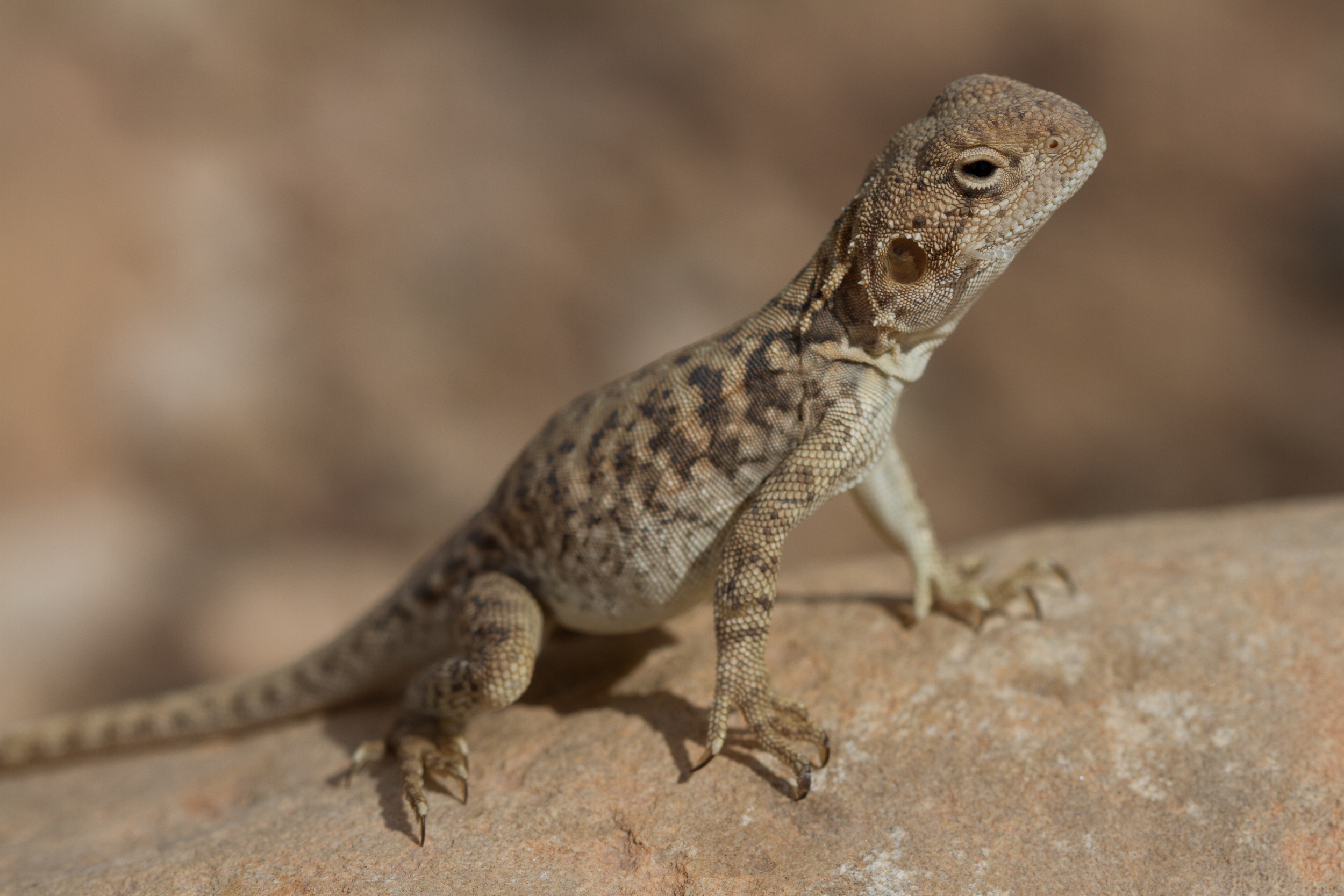 Female Red-backed Dragon ( Ctenophorus vadnappa ). Arkaroola Station, South Australia, 2011. Photo by  Angus Kennedy .