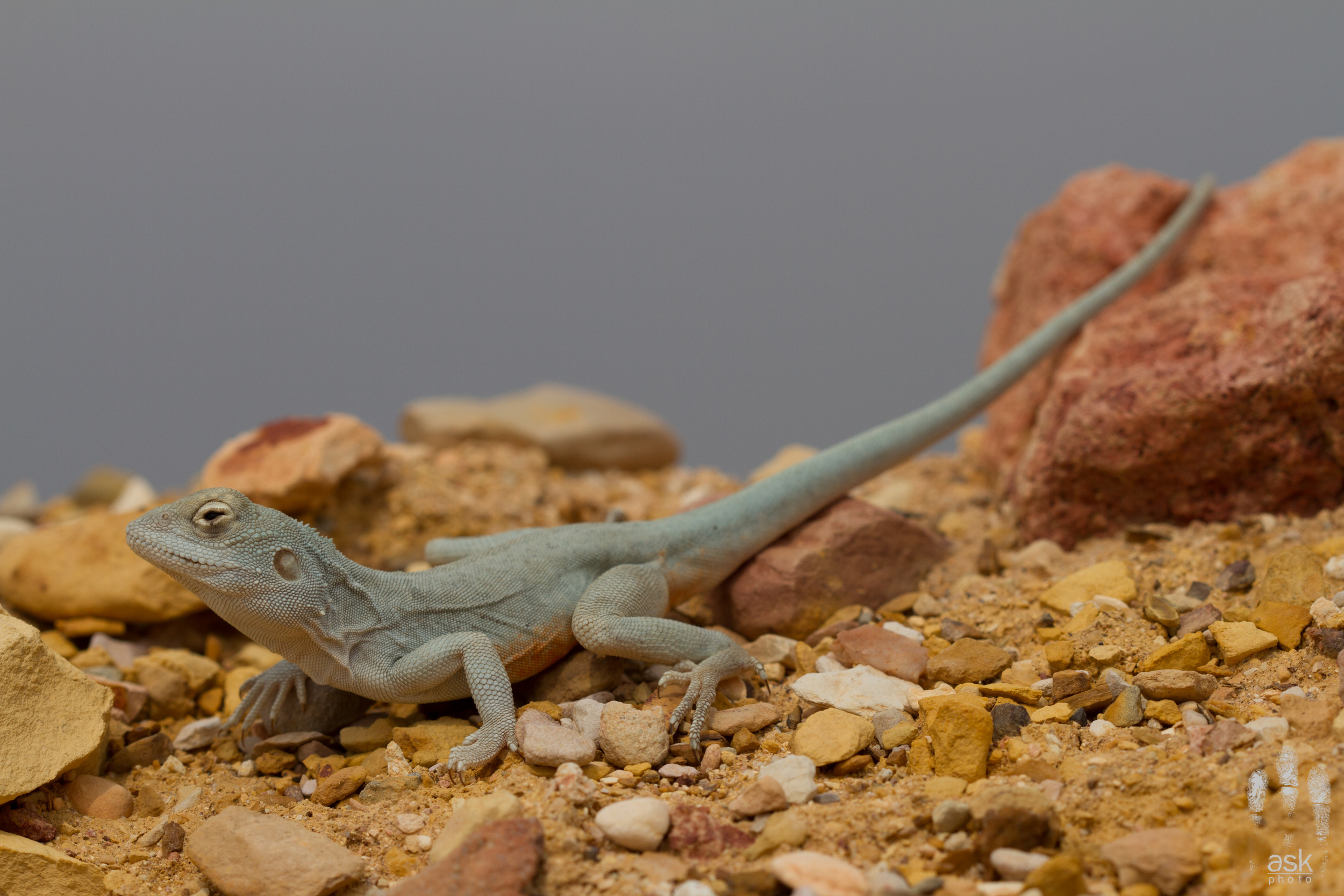 Male Ochre Dragon ( Ctenophorus tjantjalka ). Anna Creek Station, South Australia, 2012. Photo by  Angus Kennedy .
