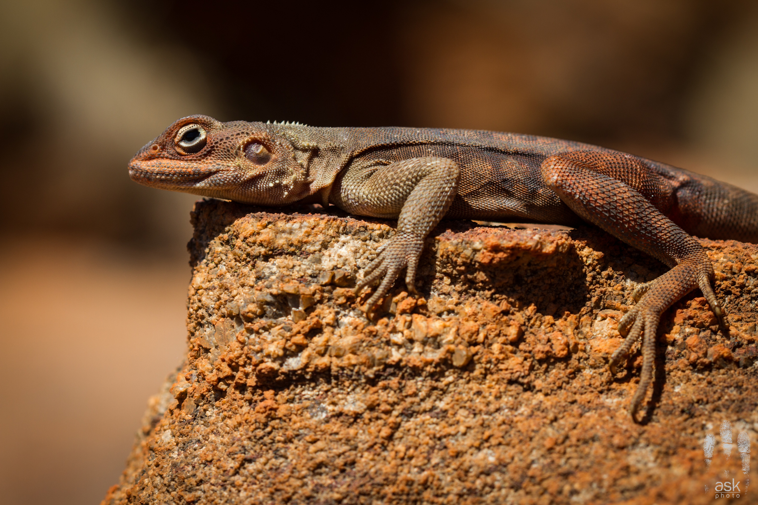 Male Rusty Dragon ( Ctenophorus rufescens ). Victory Downs Station, Northern Territory, 2012. Photo by  Angus Kennedy .
