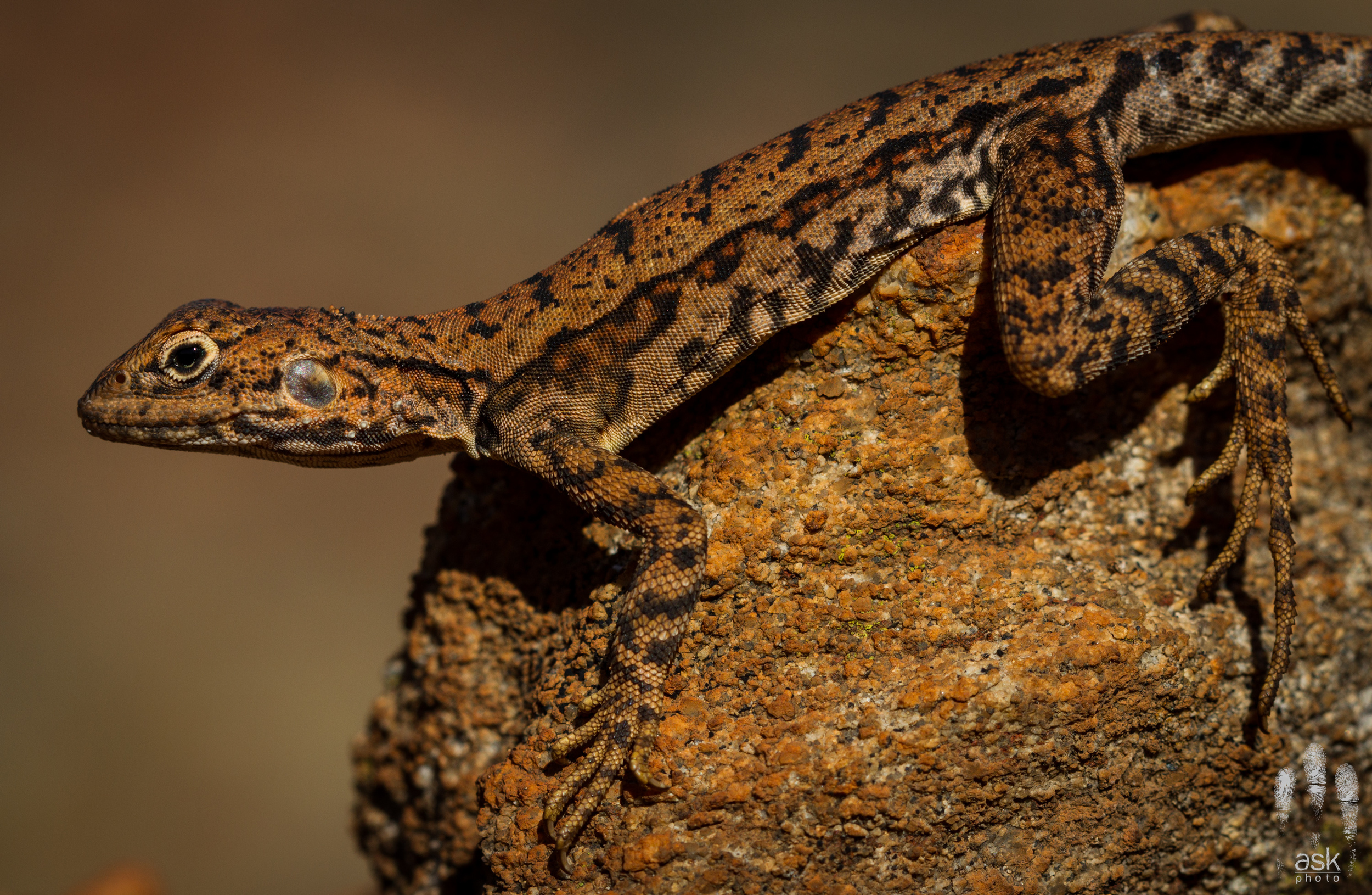 Female Rusty Dragon ( Ctenophorus rufescens ). Mulga Park Station, Northern Territory, 2012. Photo by  Angus Kennedy .