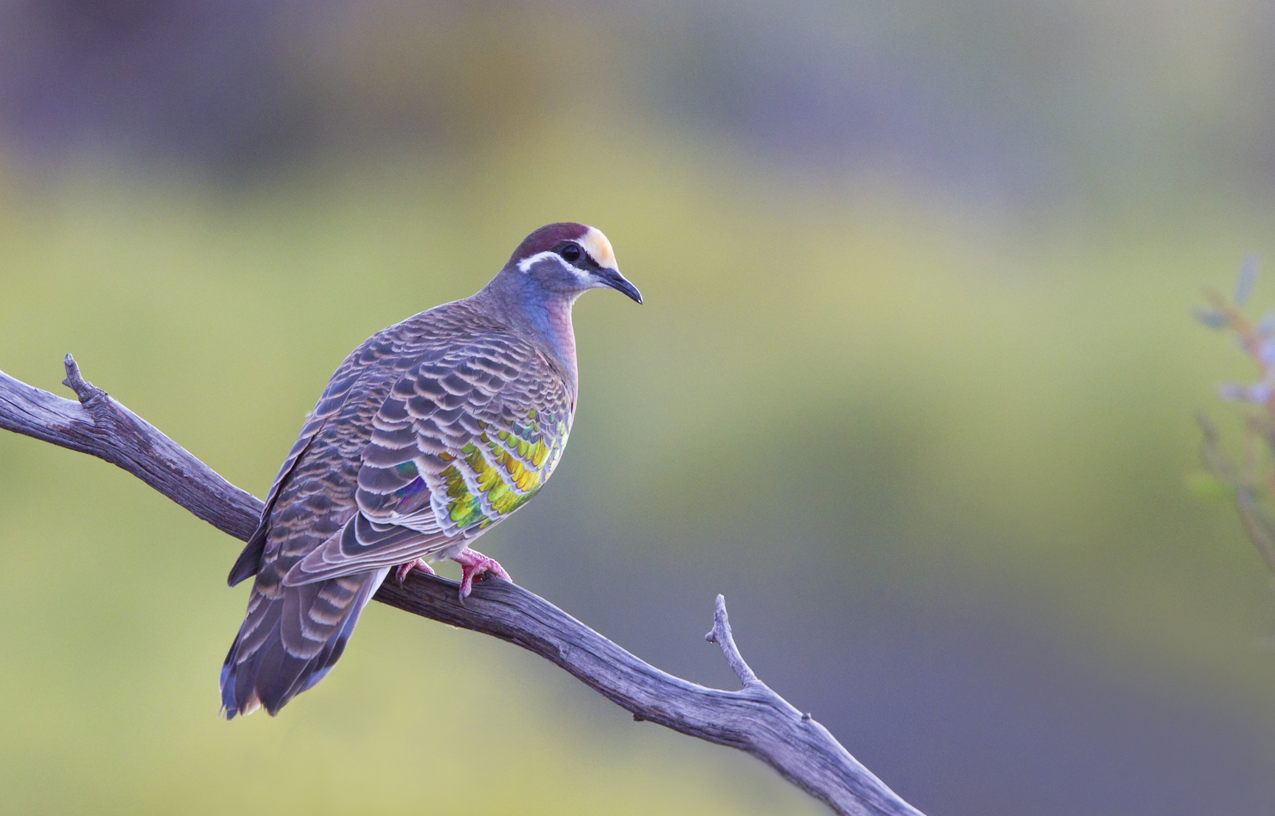 Common Bronzewing. Gluepot Reserve, South Australia, 2011. Photo by Tobias Hayashi.