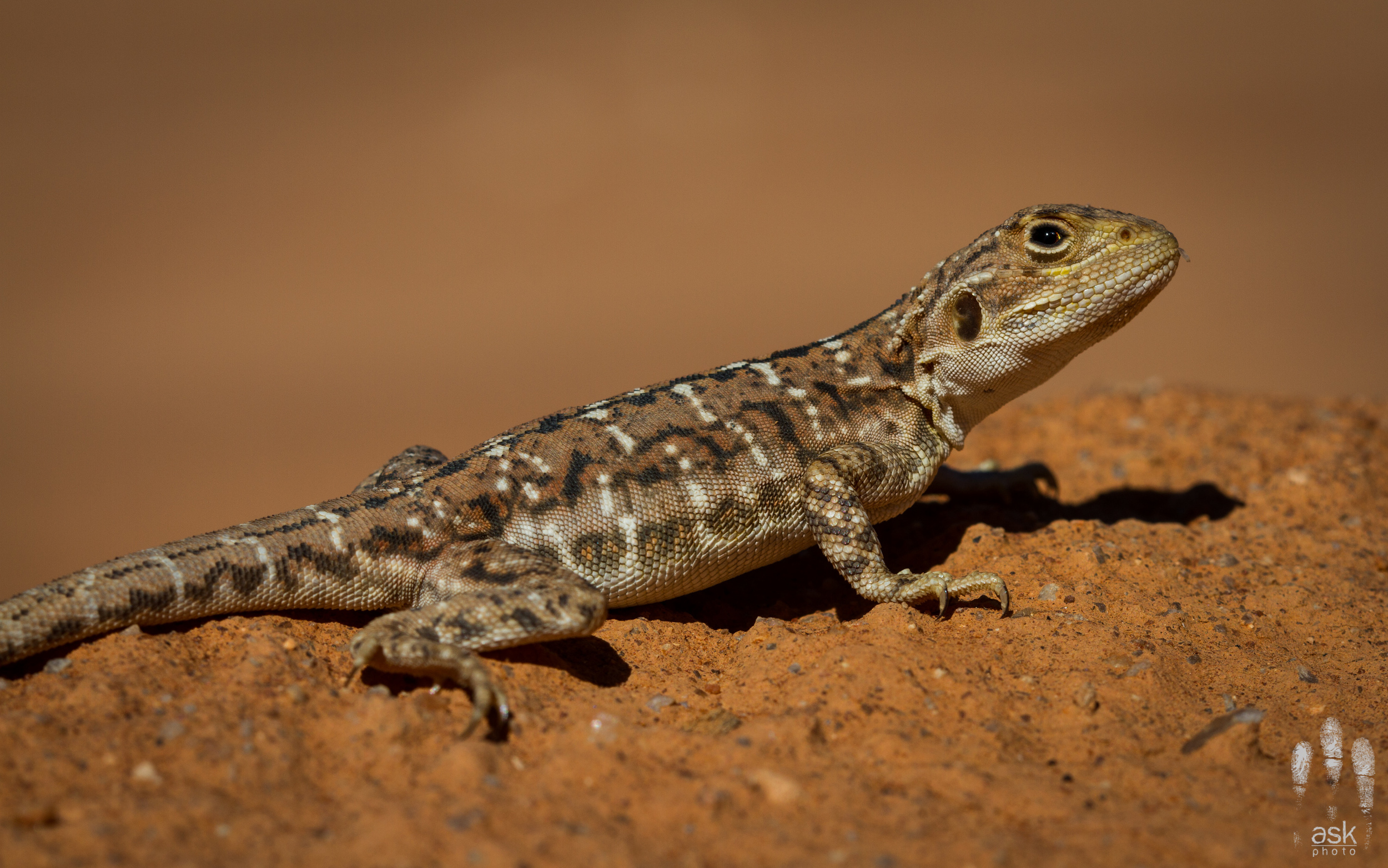 Female painted dragon,  Ctenophorus pictus . Turlga Station, South Australia, 2012. Photo by Angus Kennedy.