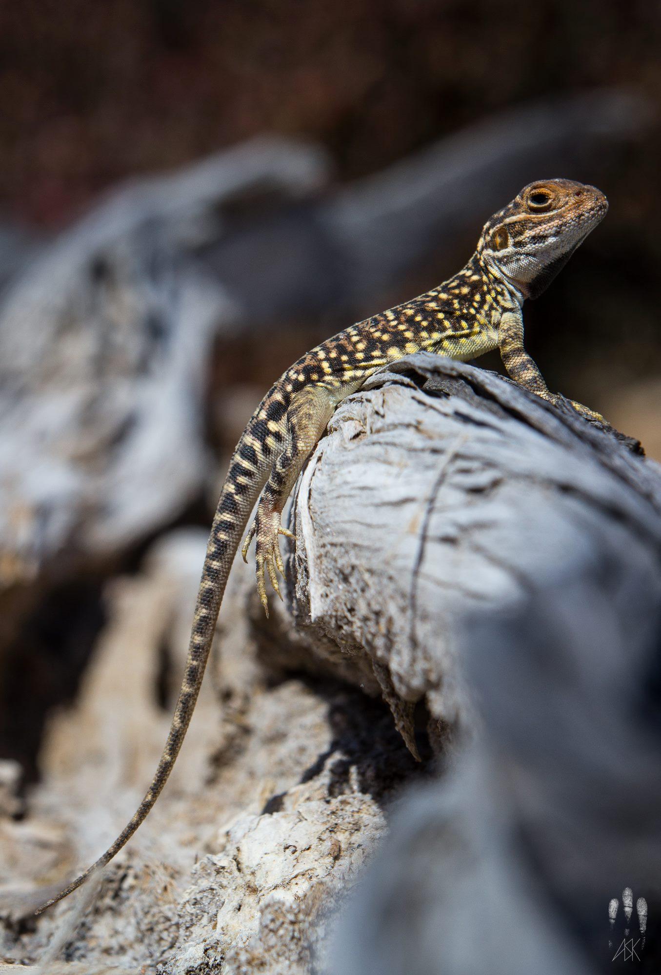 Male claypan dragon, Ctenophorus salinarum . Varley, Western Australia, 2013. Photo by Angus Kennedy.