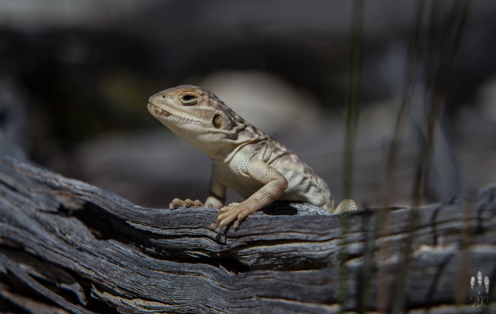 Female claypan dragon, Ctenophorus salinarum . Varley, Western Australia, 2013. Photo by Angus Kennedy.