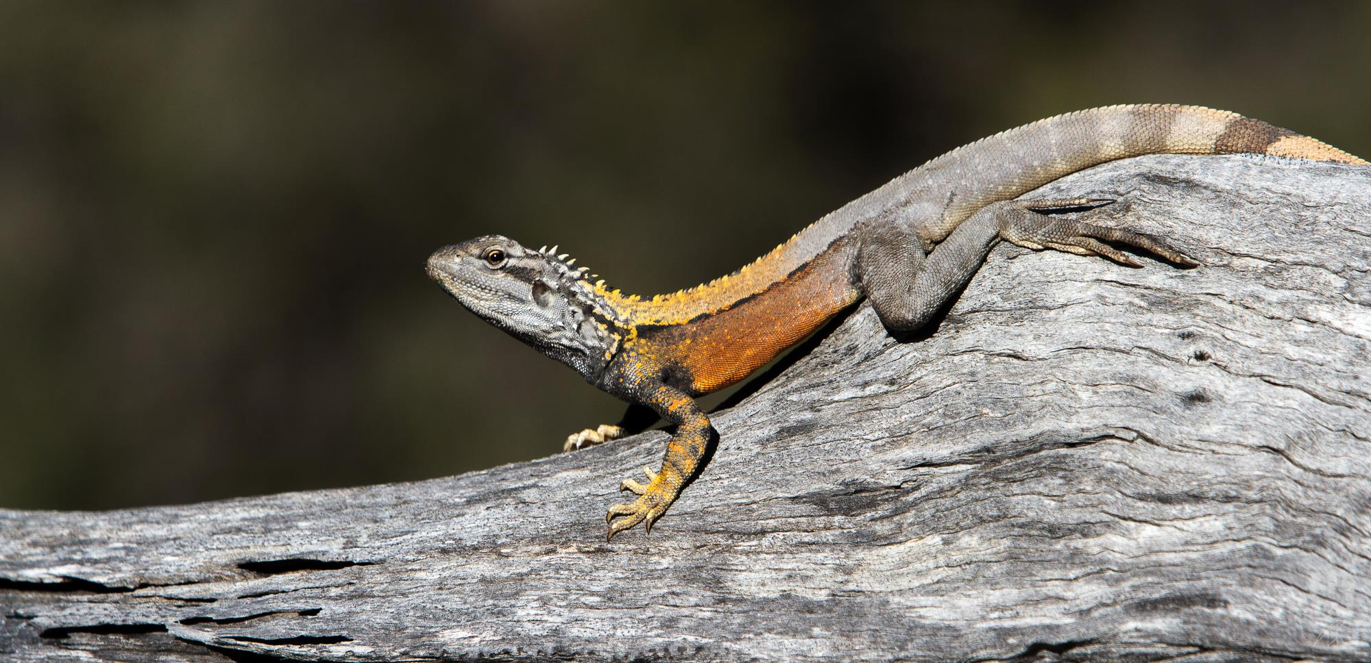 Male bicycl  e dragon (  Ctenophorus cristatus).  Lake Hurlestone Conservation Reserve, Western Australia, 2013. Photo by Angus Kennedy. From  this post .