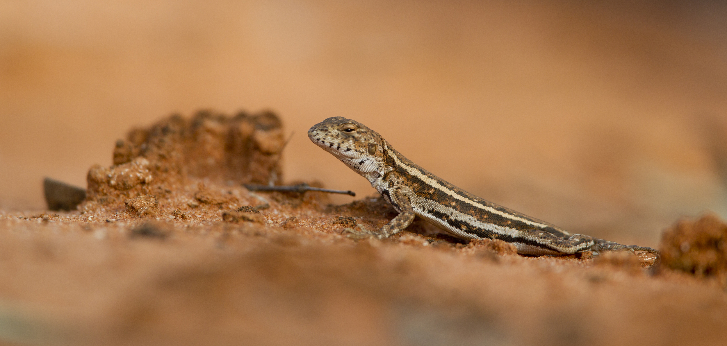 A male mallee military dragon (  Ctenophorus fordi  ). Gluepot Reserve, South Australia, 2011. Photo by Tobias Hayashi.