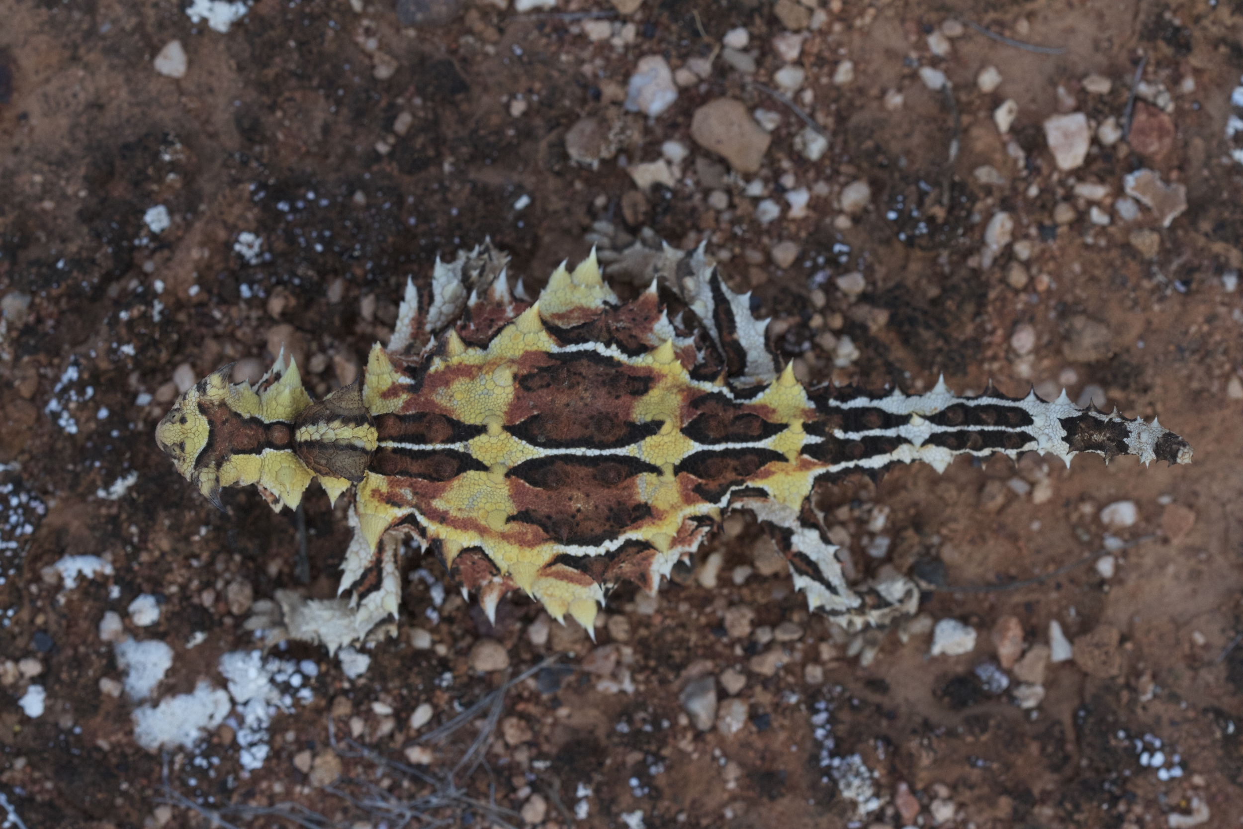 Thorny devils are spectacularly coloured and patterned. Thurlga Station, South Australia, 2012. Photo by Angus Kennedy.