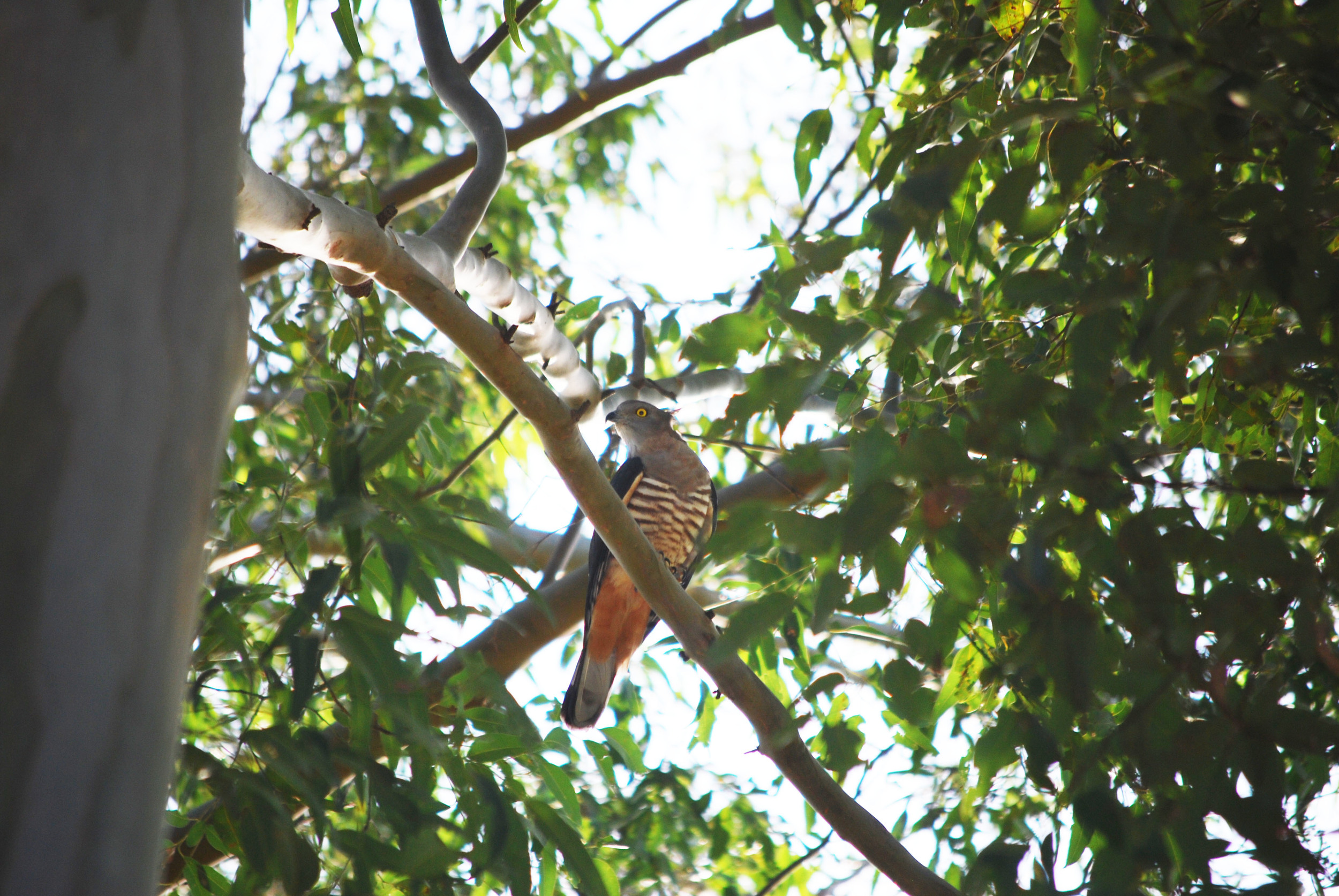 This pacific baza ( Aviceda subcristata ) seems to be a resident of Macquarie University's Sydney campus. From  this post .