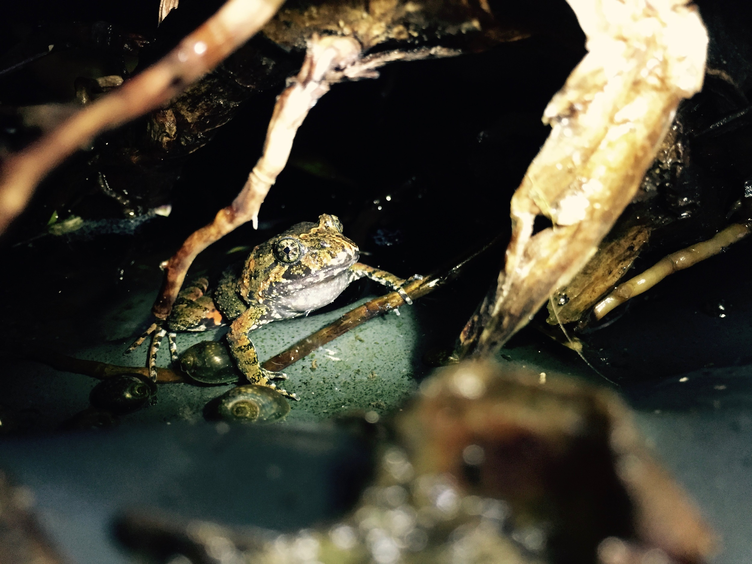 Here's the male tusked frog with that dear-in-the-headlights look. He's waiting patiently for the humans to go away so he can resume calling to attract the female. The humans are waiting patiently with their light on the frog so that they can get a picture of him calling. There are many pictures (and videos) like this one.