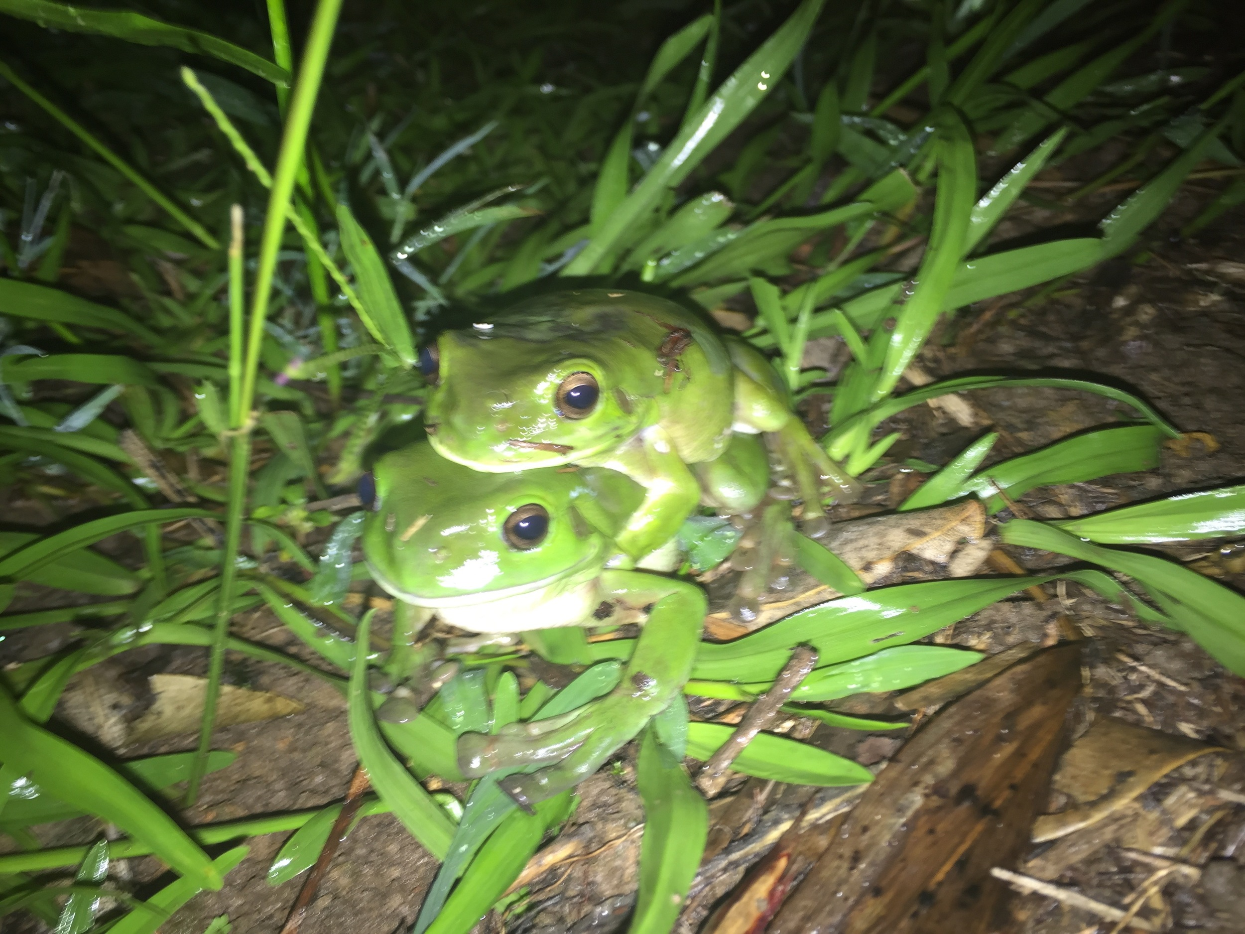 The frog pond has also attracted visitors like these green tree frogs ( Litoria caerulea ). They spend most of their lives away from frog ponds, in trees, mailboxes and  toilets , and venture to the ponds on rainy nights to breed.