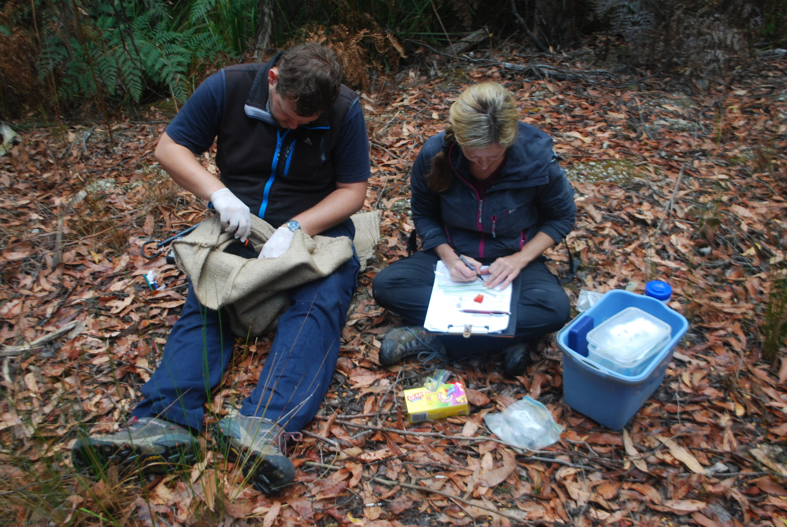 Here's Dave measuring a devil. It'd be extremely cumbersome to both take and record the measurements while controlling and manipulating a devil-in-a-sack, so data-recording is another important task for volunteers.   Among the parts of the devil Dave inspects are its paws:
