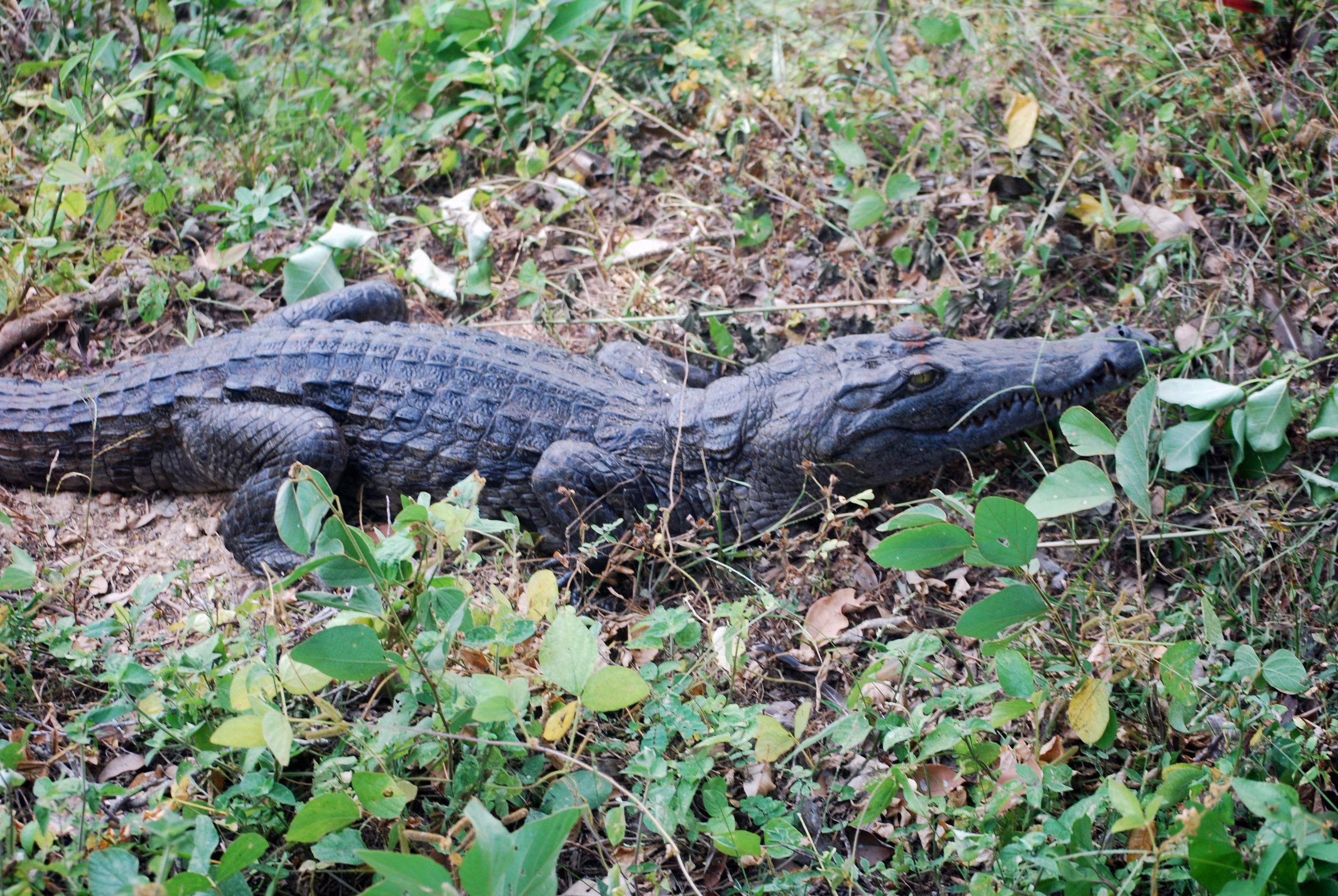 A young sacred crocodile at Lac des Crocodiles near Boali Falls.