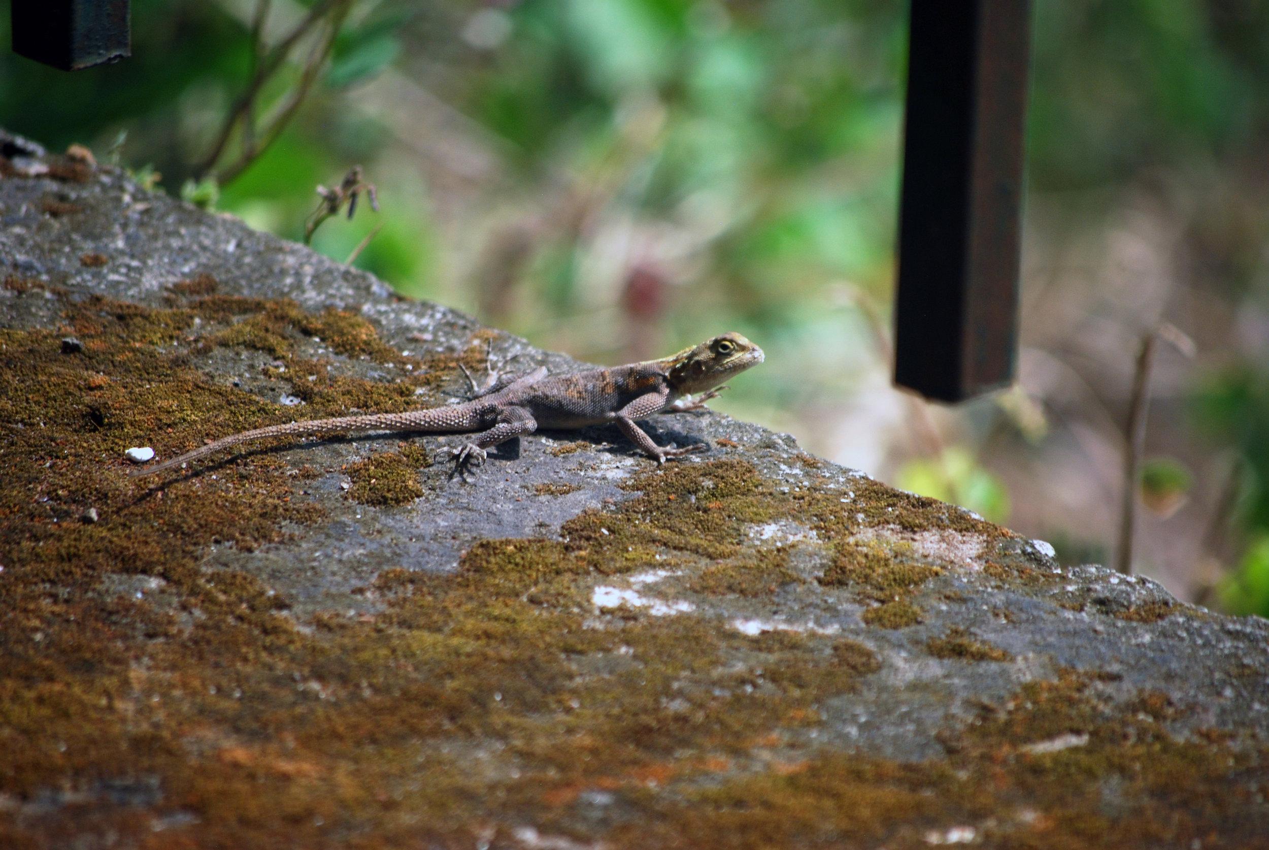 A Benoue agama near Boali Falls.