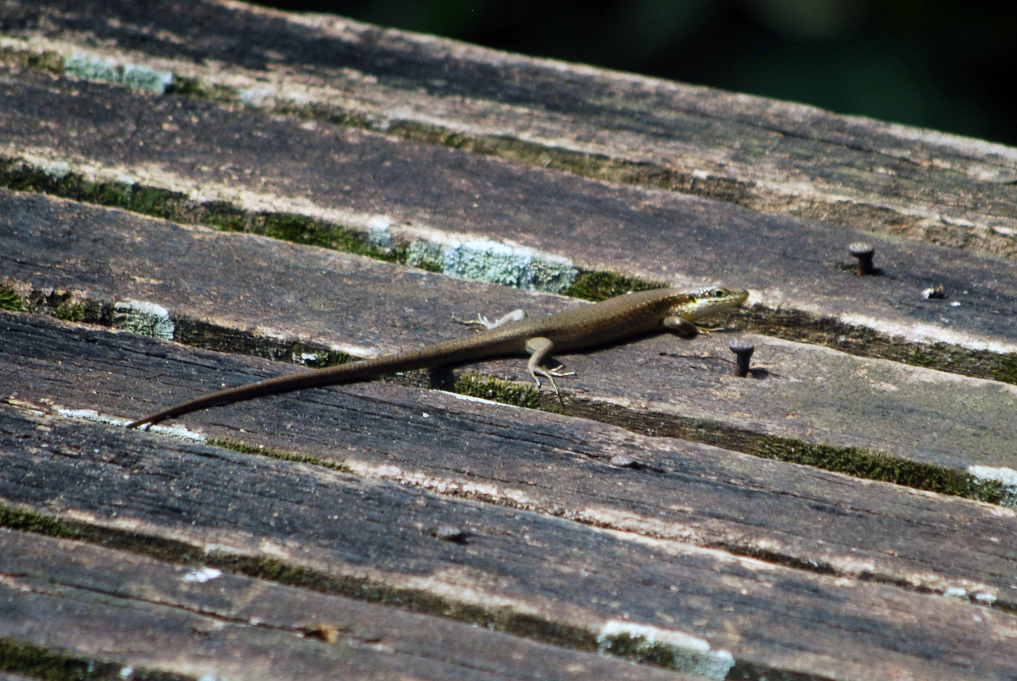 A speckle-lipped skink basking on the deck at Sangha Lodge.