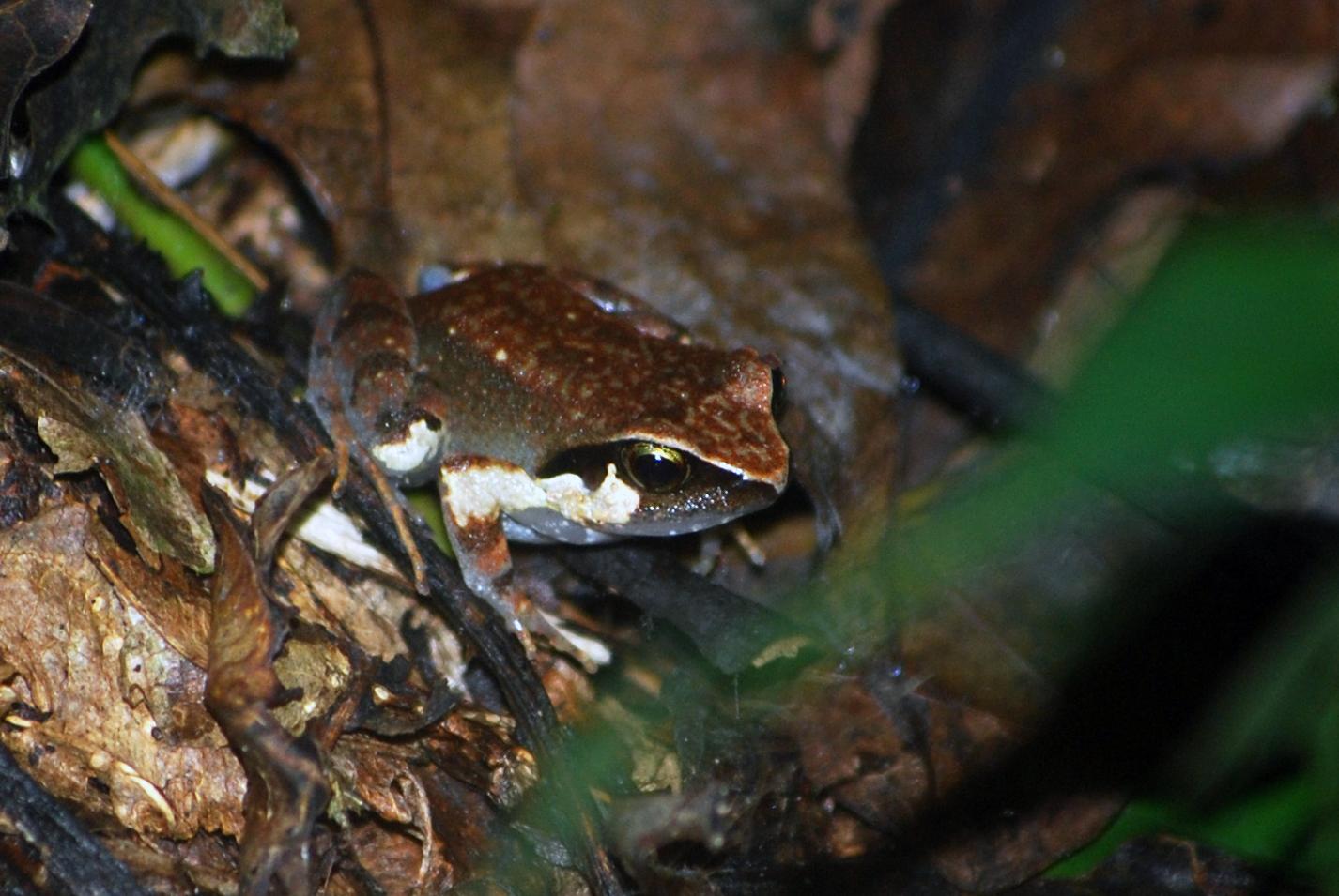 Buea Screeching Frog