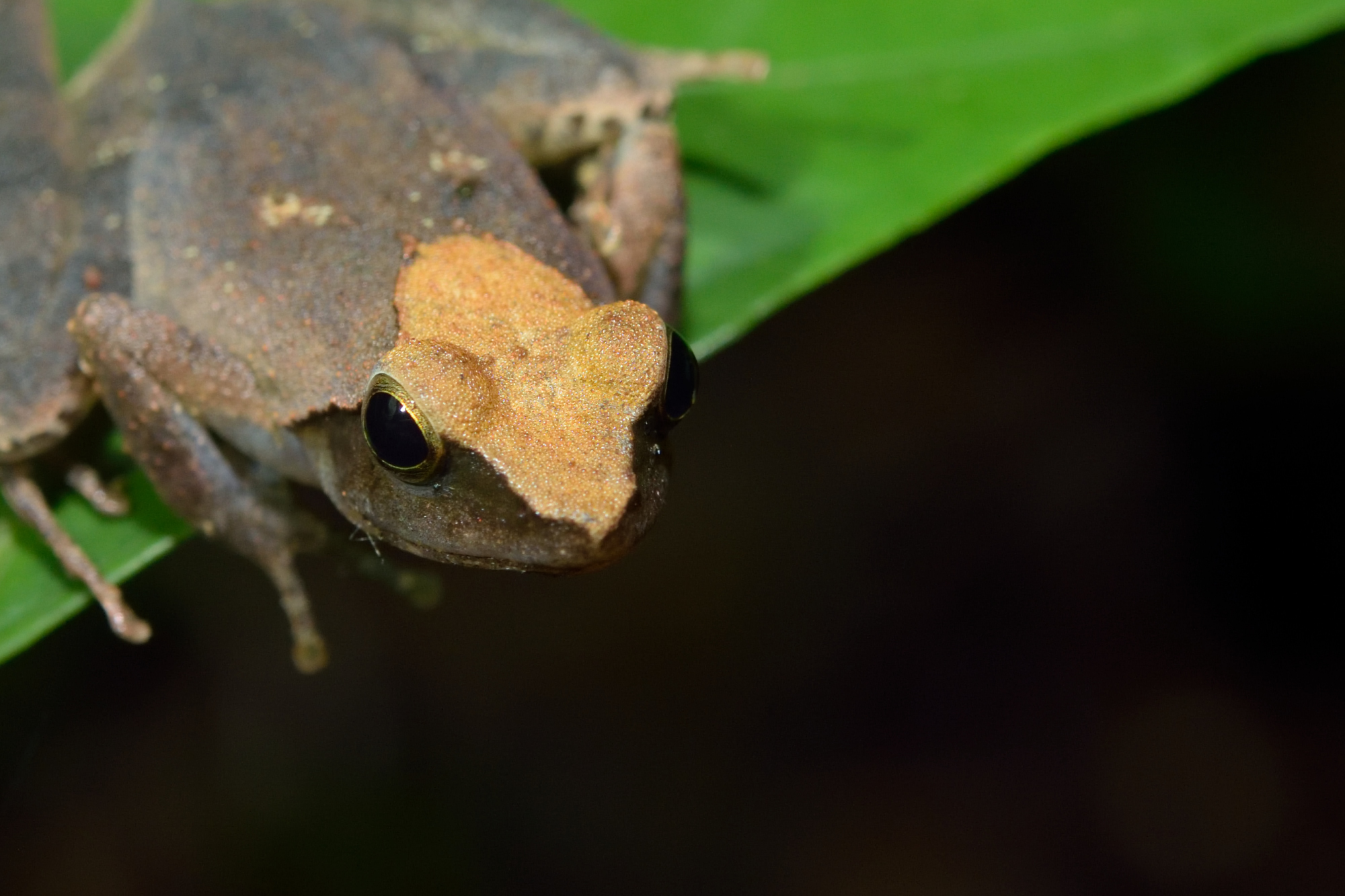 Eared River Frog