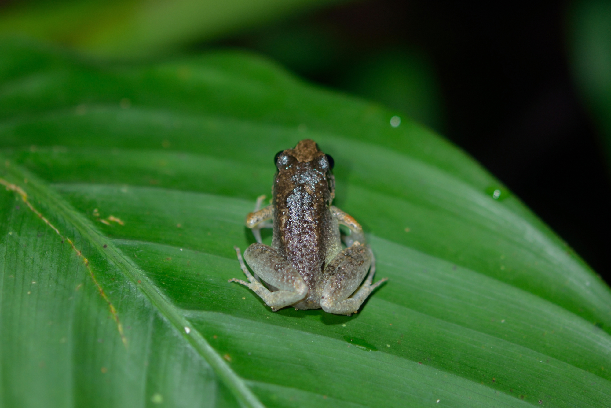 1. I think this is just a weakly patterned eared river frog. Any other opinions?
