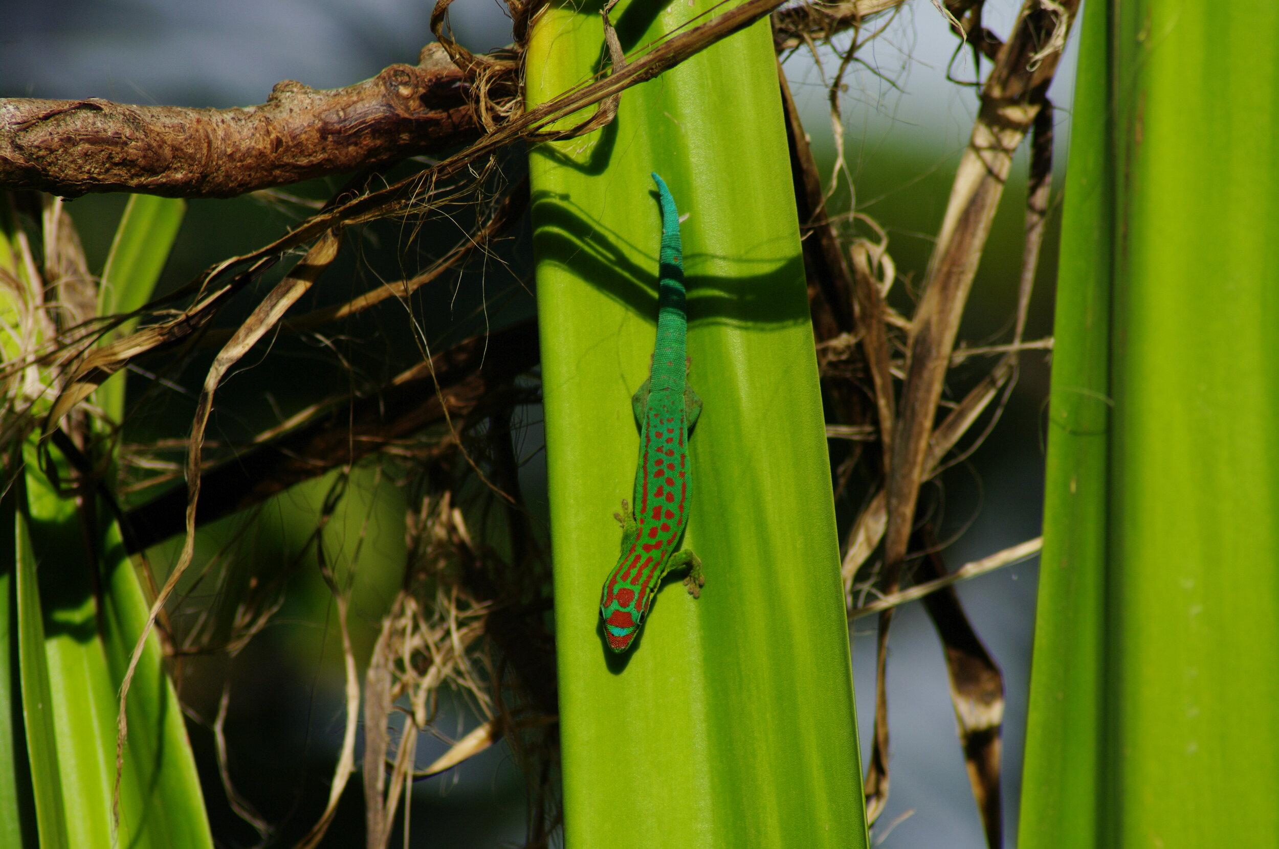 Blue-tailed Day Gecko ( Phelsuma cepediana )