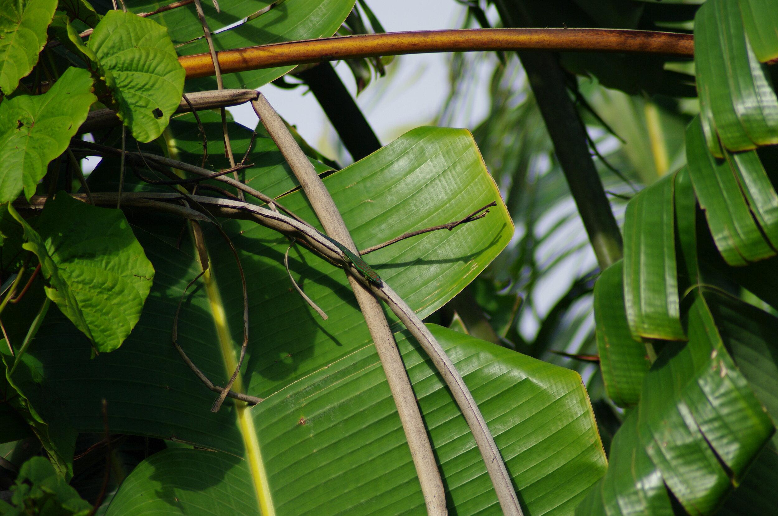 Lowland Day Gecko ( Phelsuma guimbeaui )