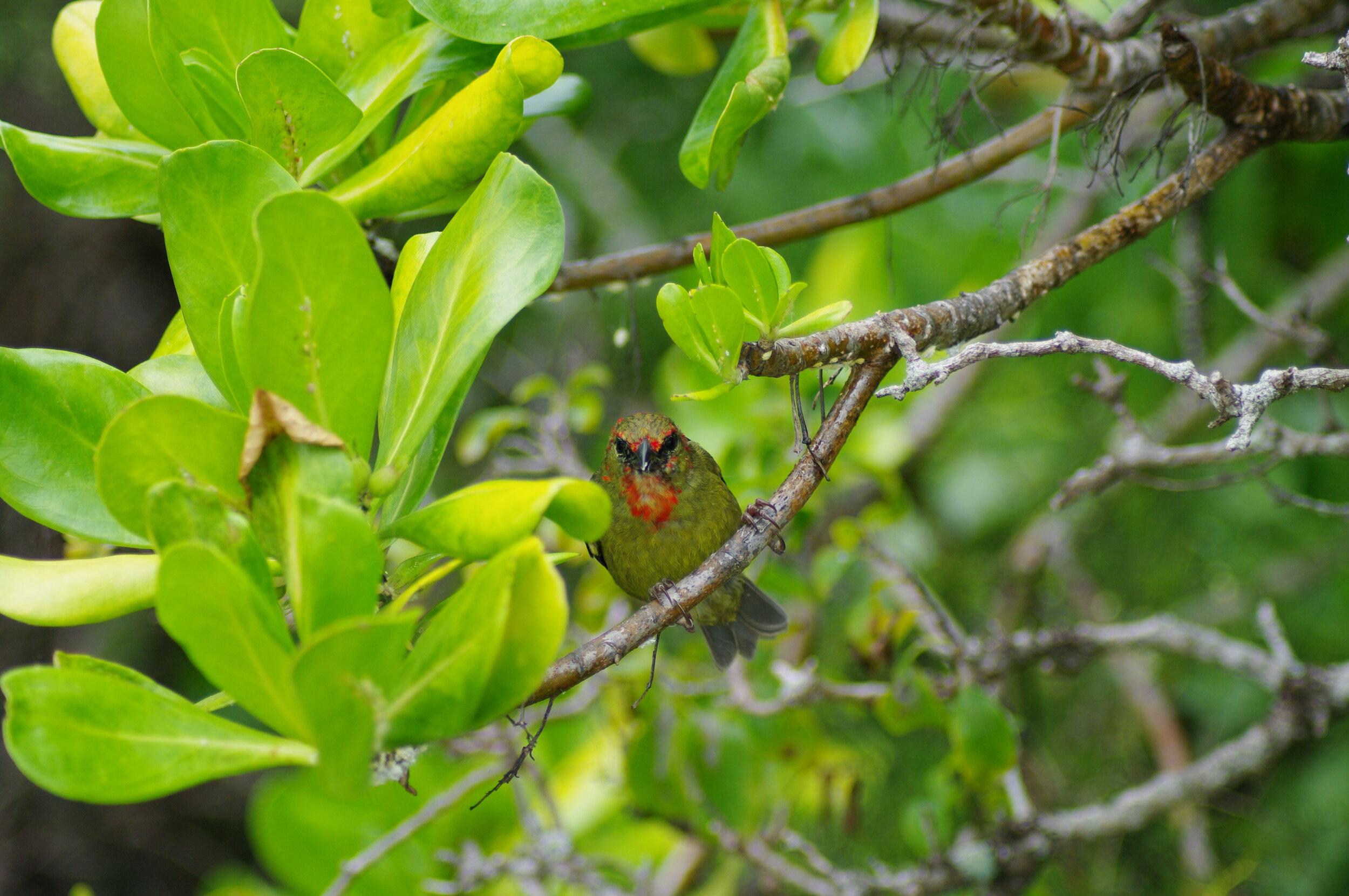 Mauritius Fody ( Foudia rubra )