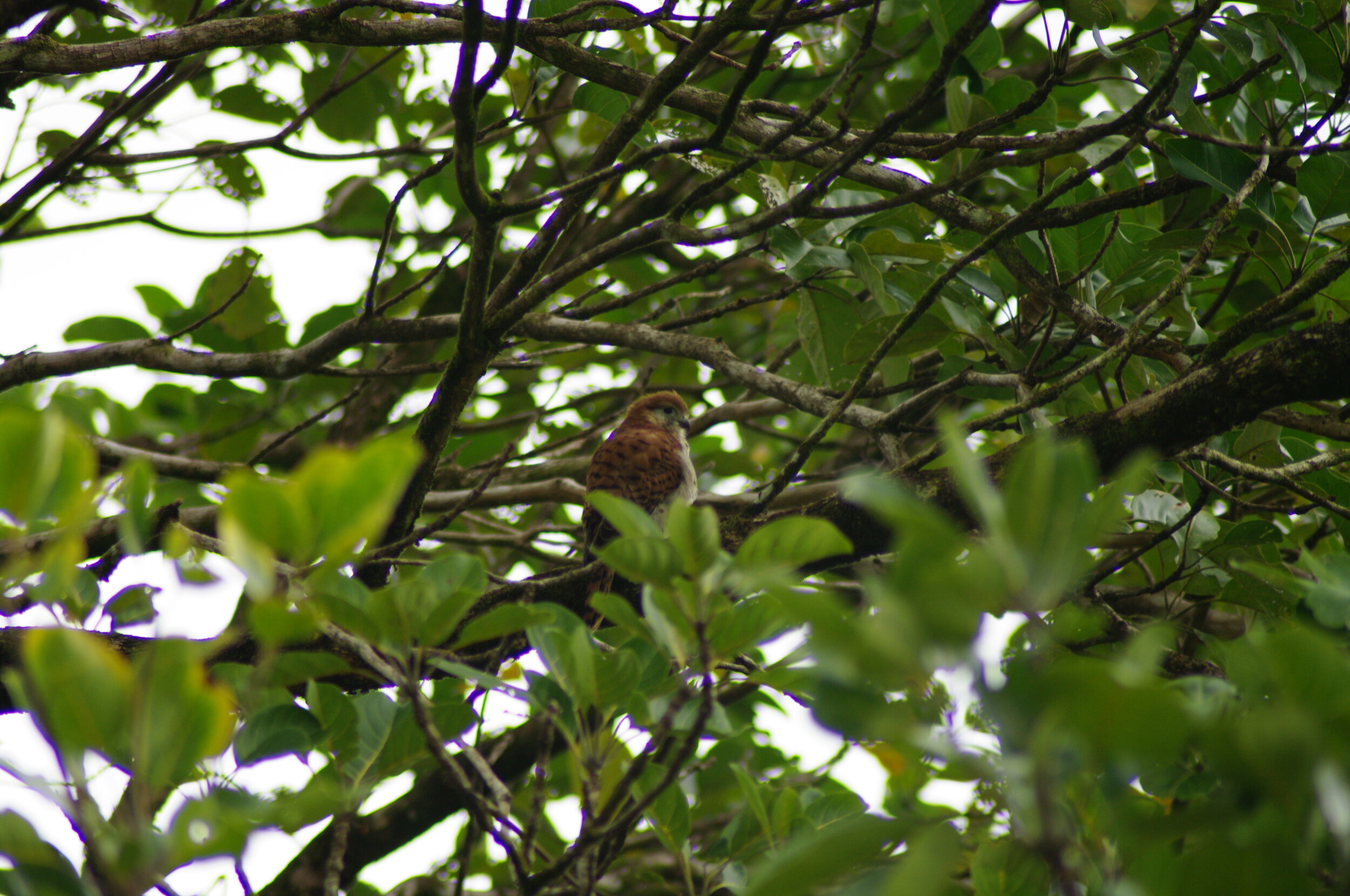 Mauritius Kestrel ( Falco punctatus )
