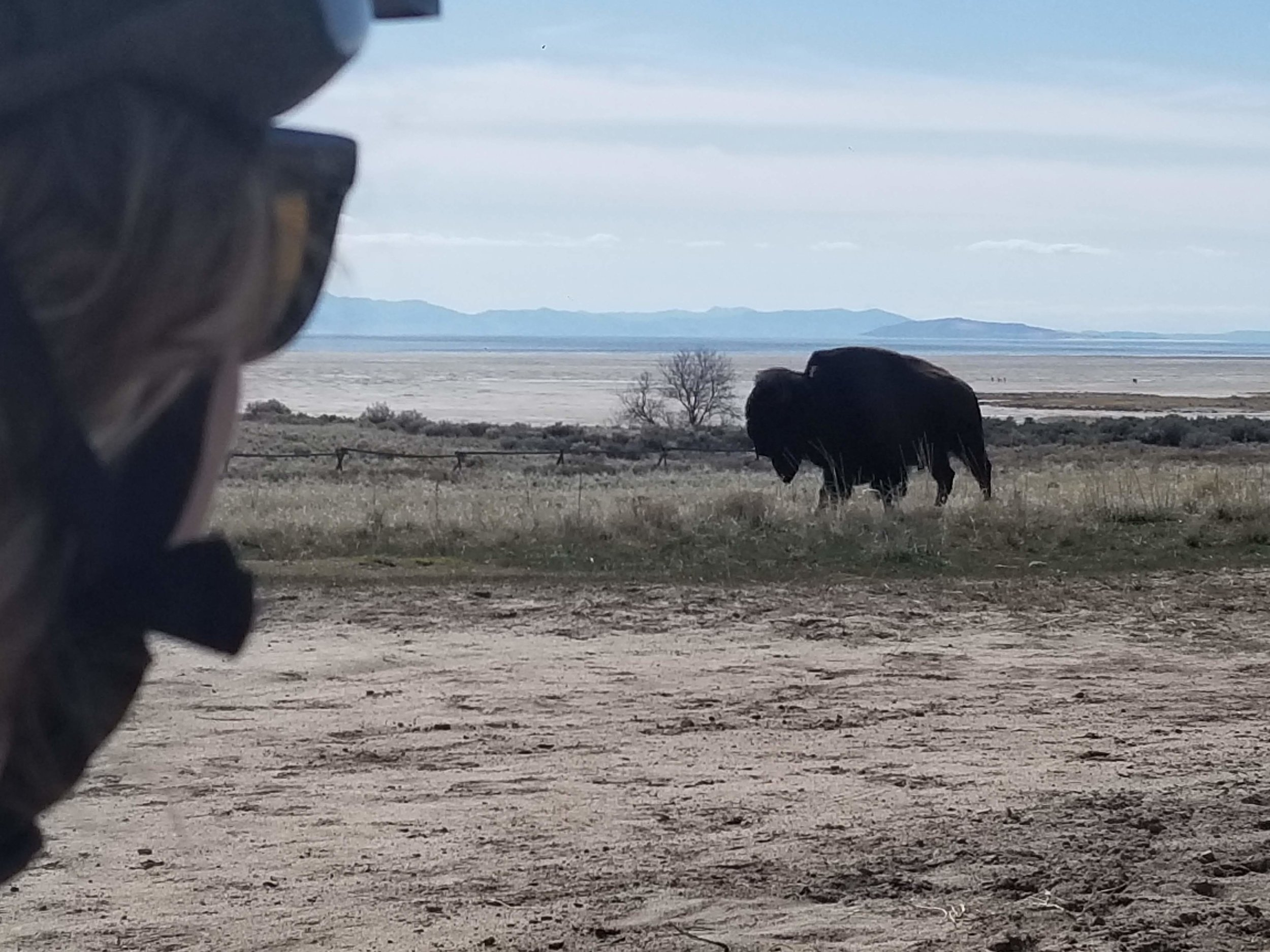 First MTN Biking of the year. Went to Antelope Island. This big boy passed within 50 ft of us!