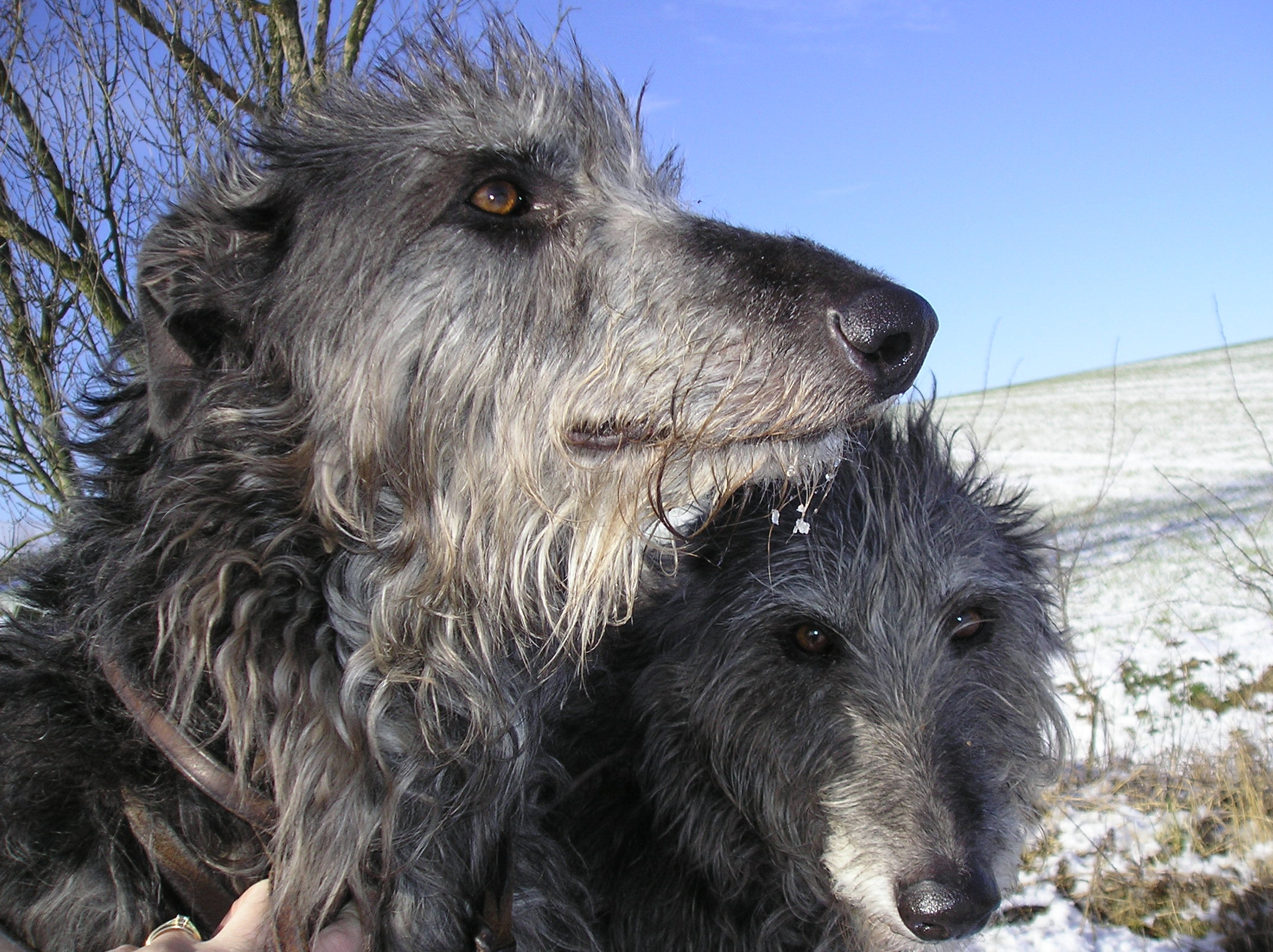 Ch. Kilbourne Grey Ghost of Ladygrove       &      Ch. Kilbourne Melissa of Ladygrove  my first two deerhounds.