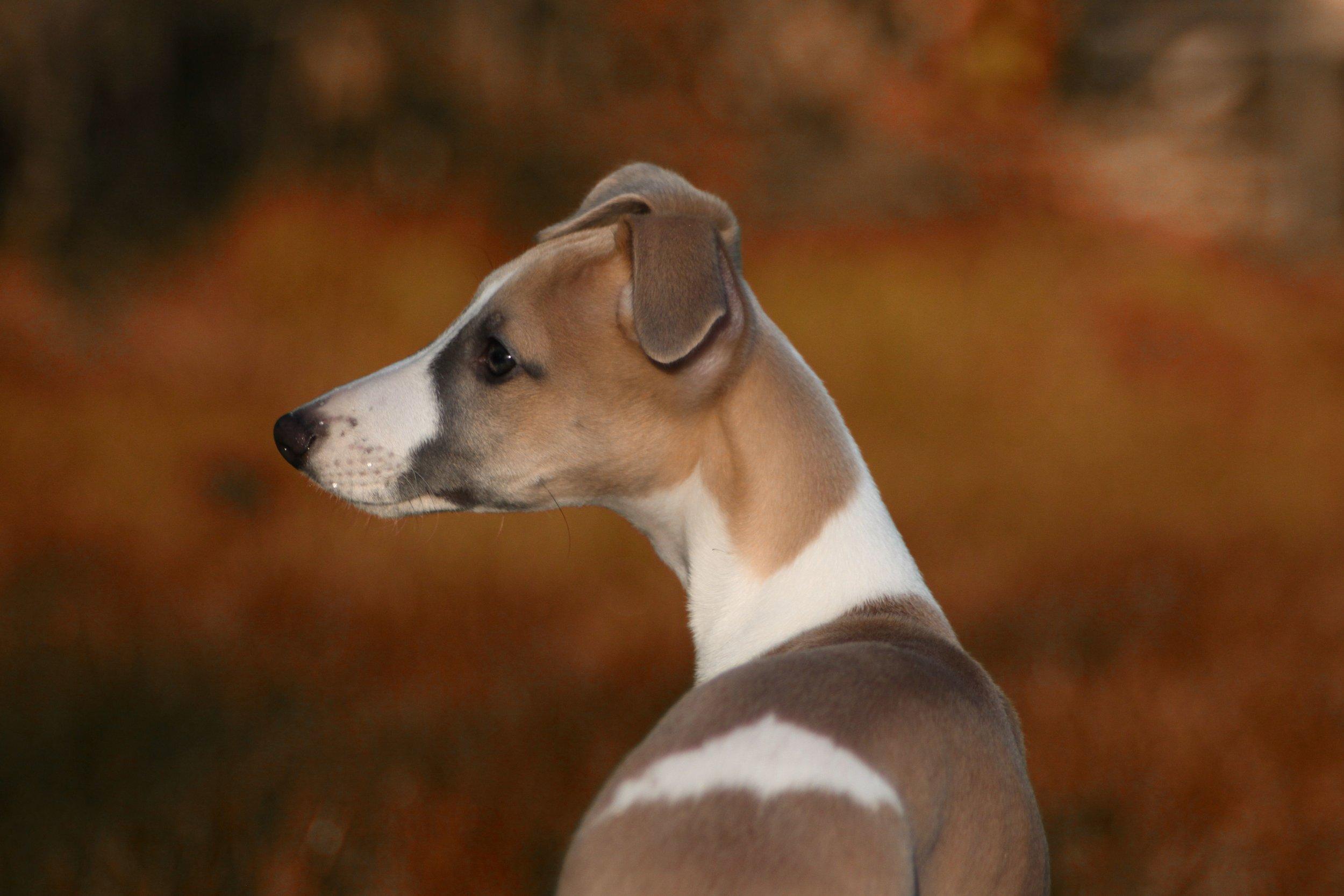 Django aged 12 weeks