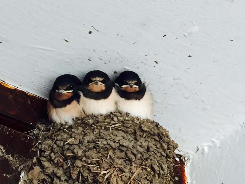 Swallows nesting next to our Reception.