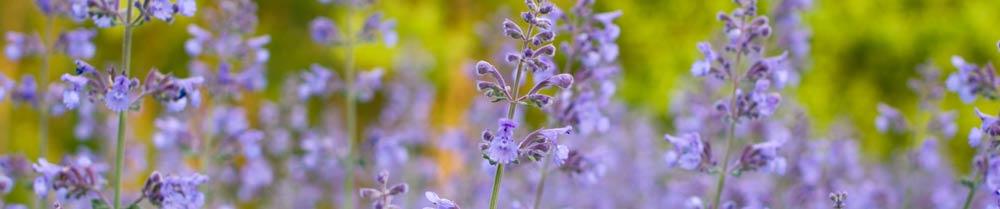 purple-wildflowers.jpg