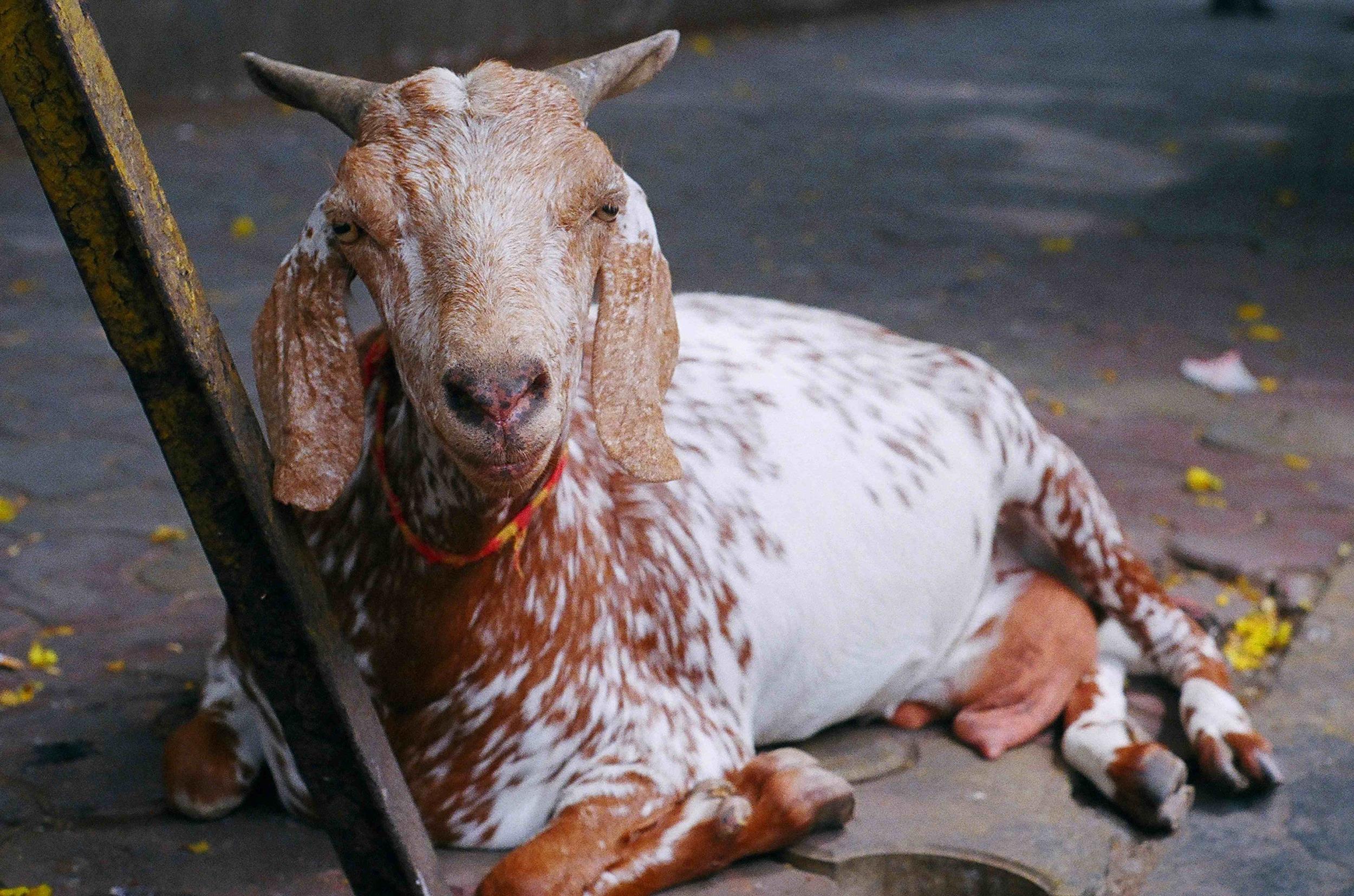 goat11.5x17.375.jpg