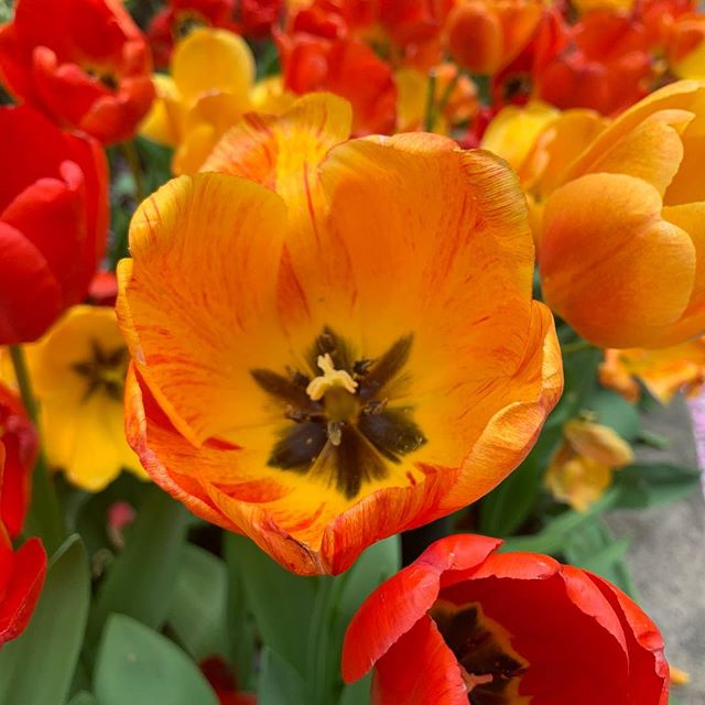 Beautiful day today! #nyc #tulips #newyork #manhattan #flowers #springhassprung #iphonephoto