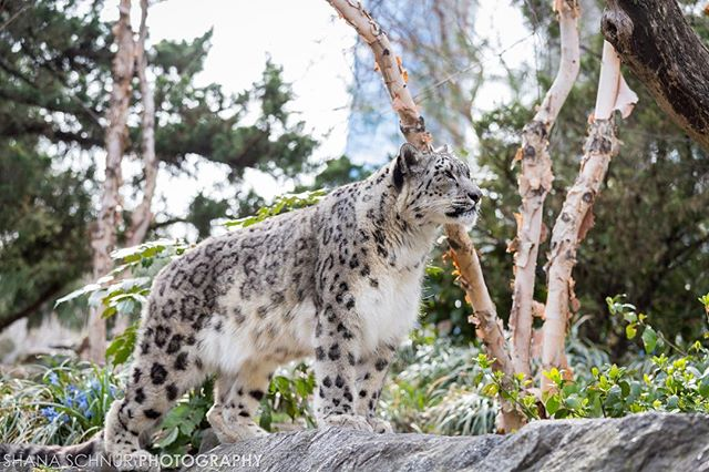 I loved photographing at the zoo! Especially the snow leopards  #onlyinnyc #centralparkzoo #wildlifeconcervationsociety #wcs #cpzoo #newyork #Snowleopard #bigcat #Manhattan #photographer #animals #bigcats
