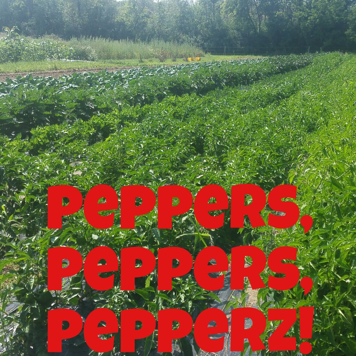 Our pepper plants are going CRAZY! In a good way.