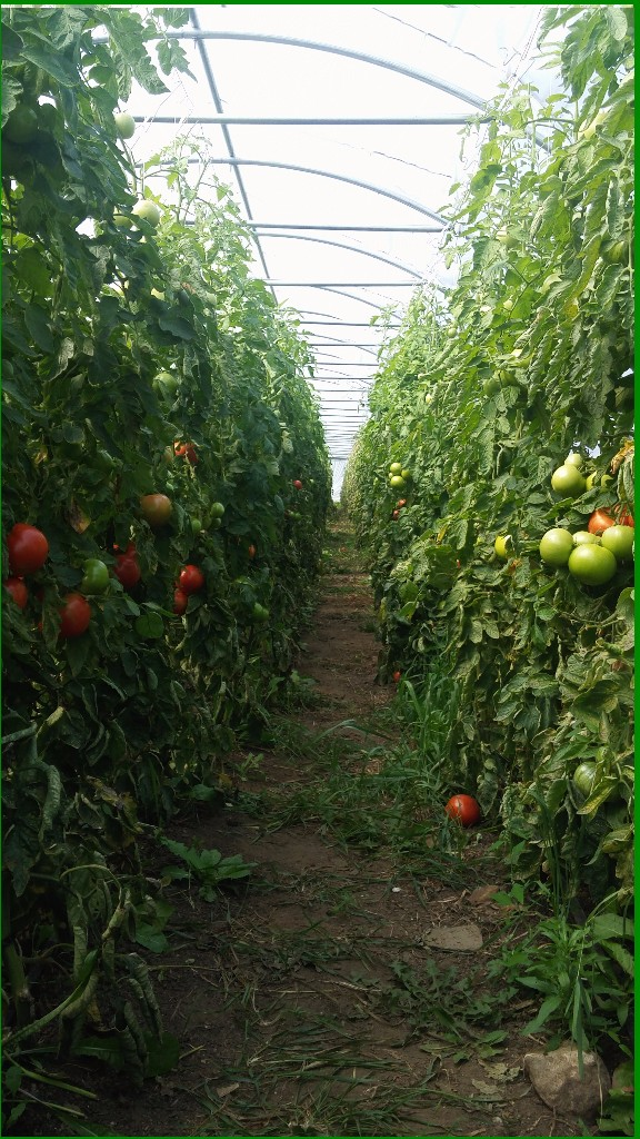Welcome to the Jungle!    Our tomatoes have slowed their maturing, but the plants are still looking big, beautiful and bountiful!